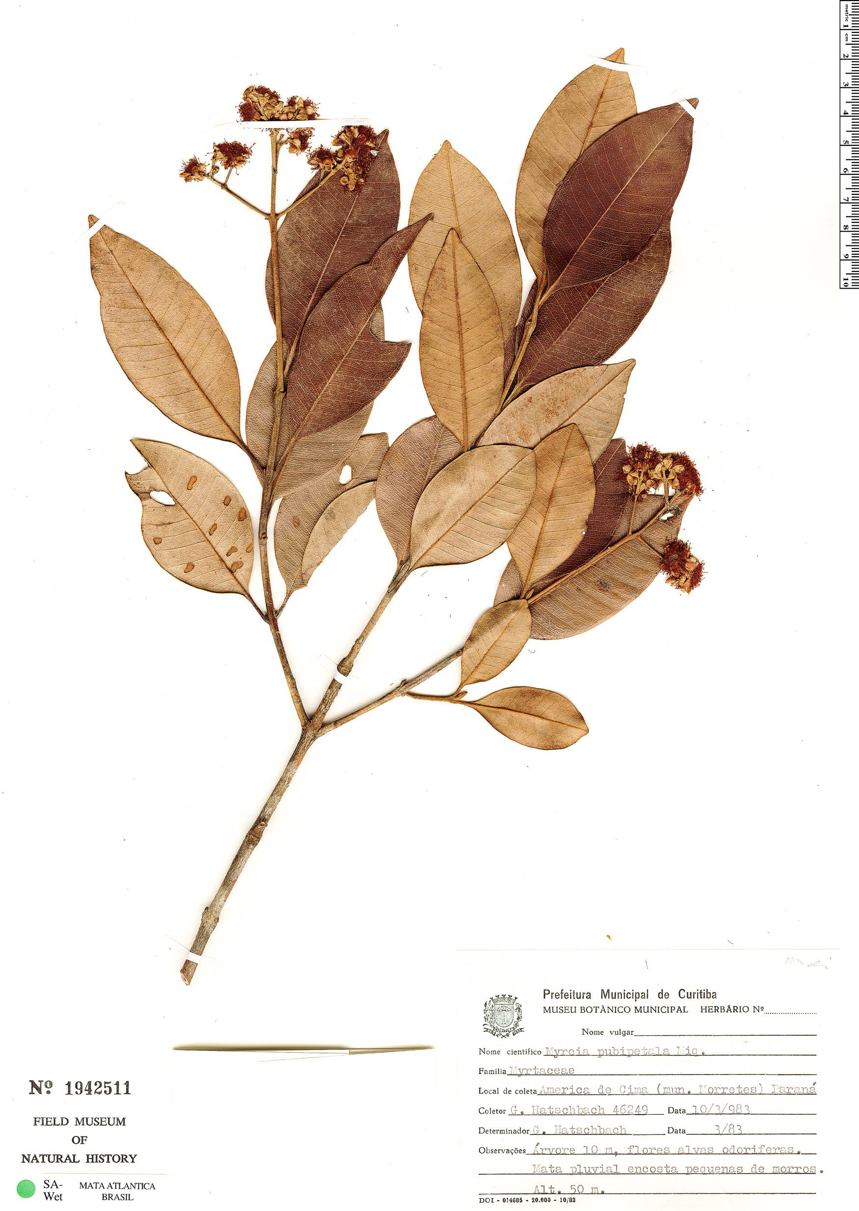 Specimen: Myrcia pubipetala