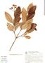 Myrcia pubipetala Miq., Brazil, G. G. Hatschbach 46249, F