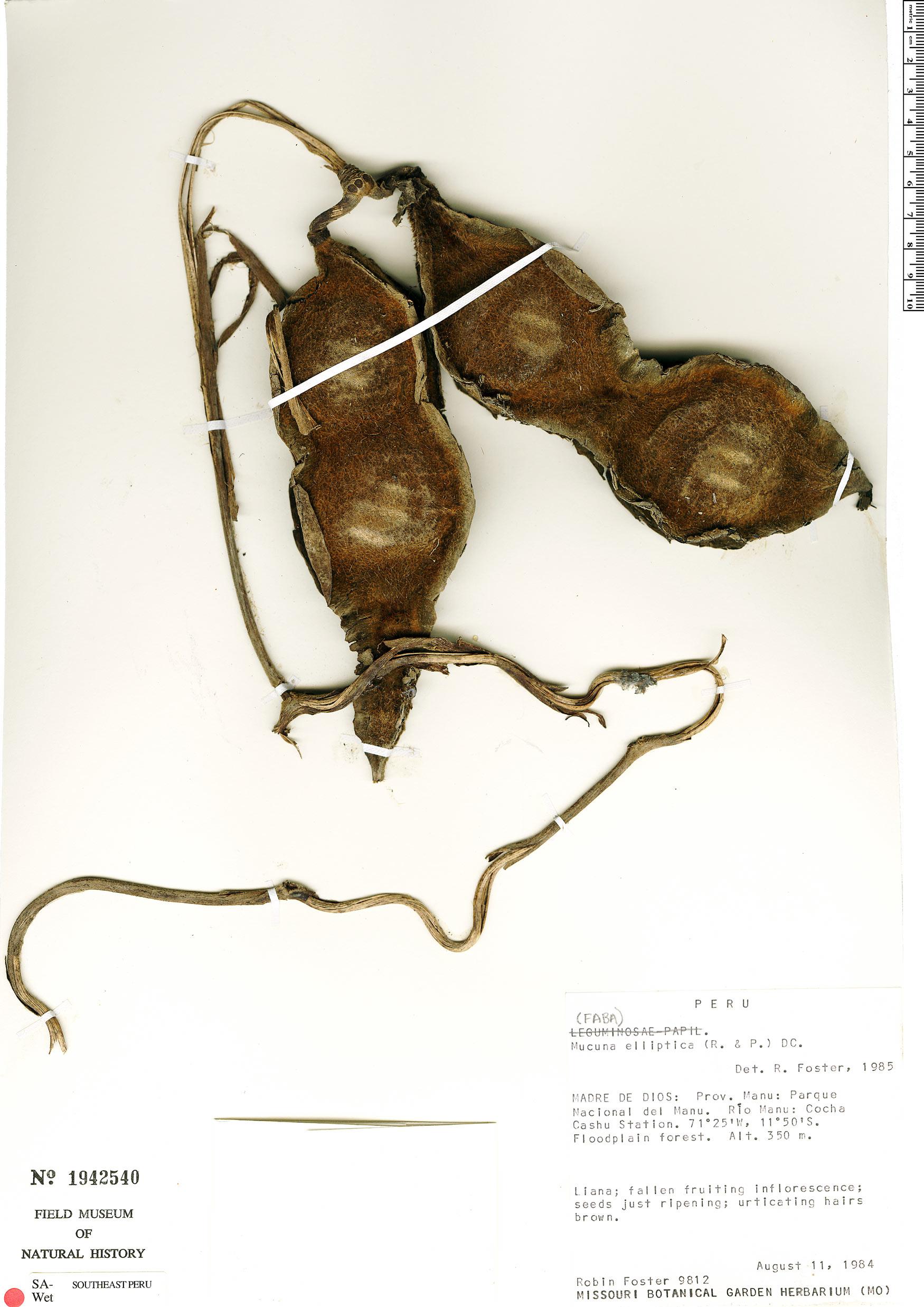 Specimen: Mucuna klitgaardiae