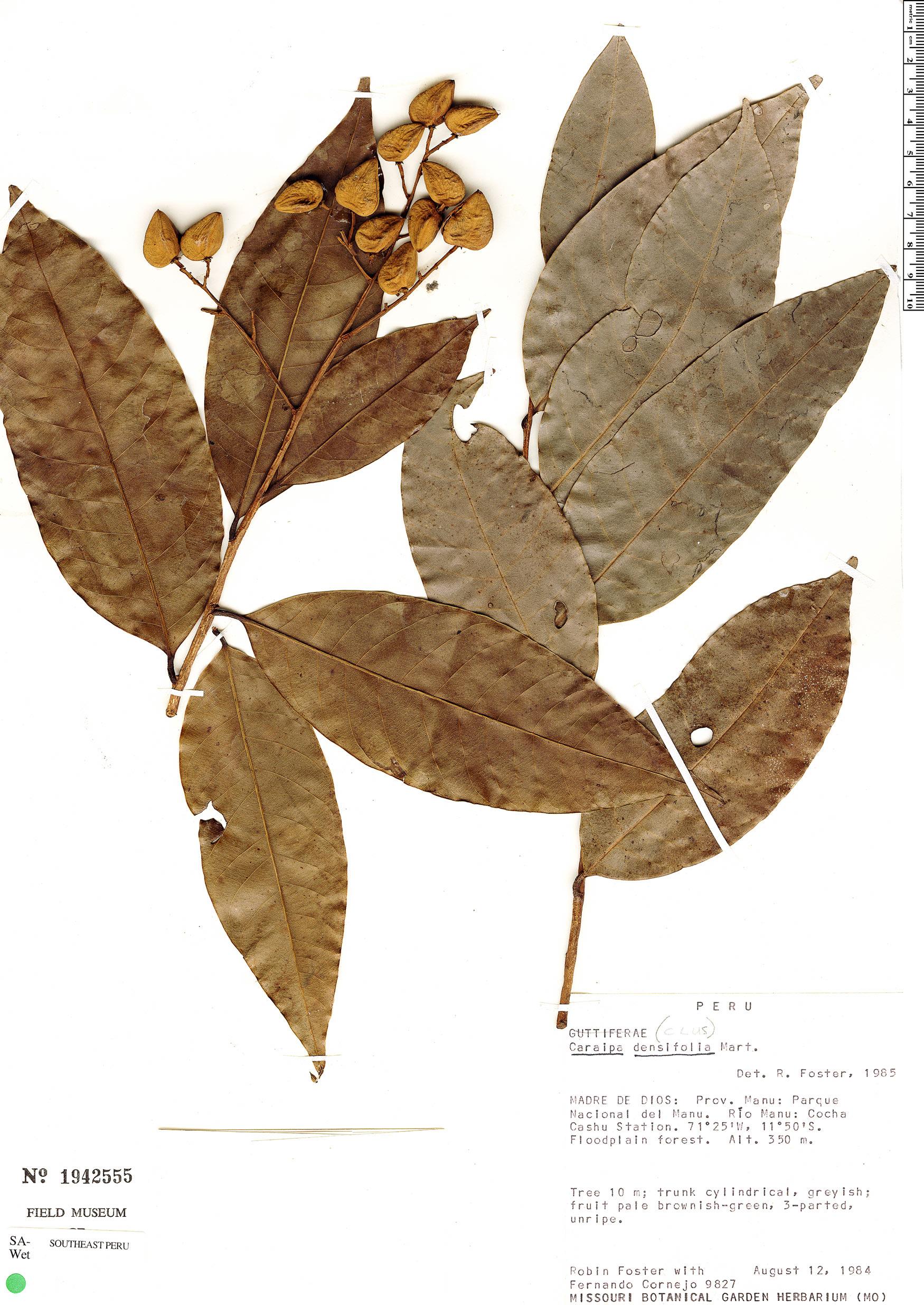 Specimen: Caraipa densifolia