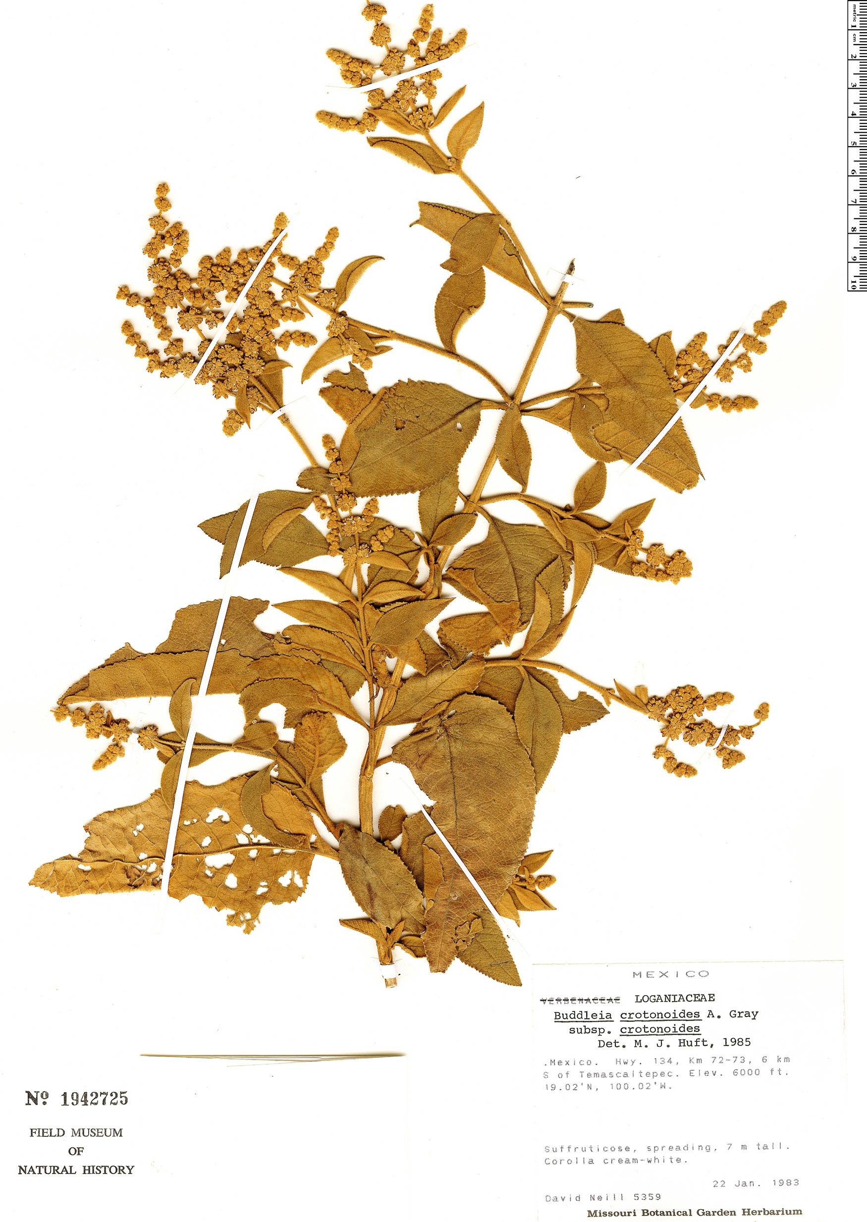 Specimen: Buddleja crotonoides