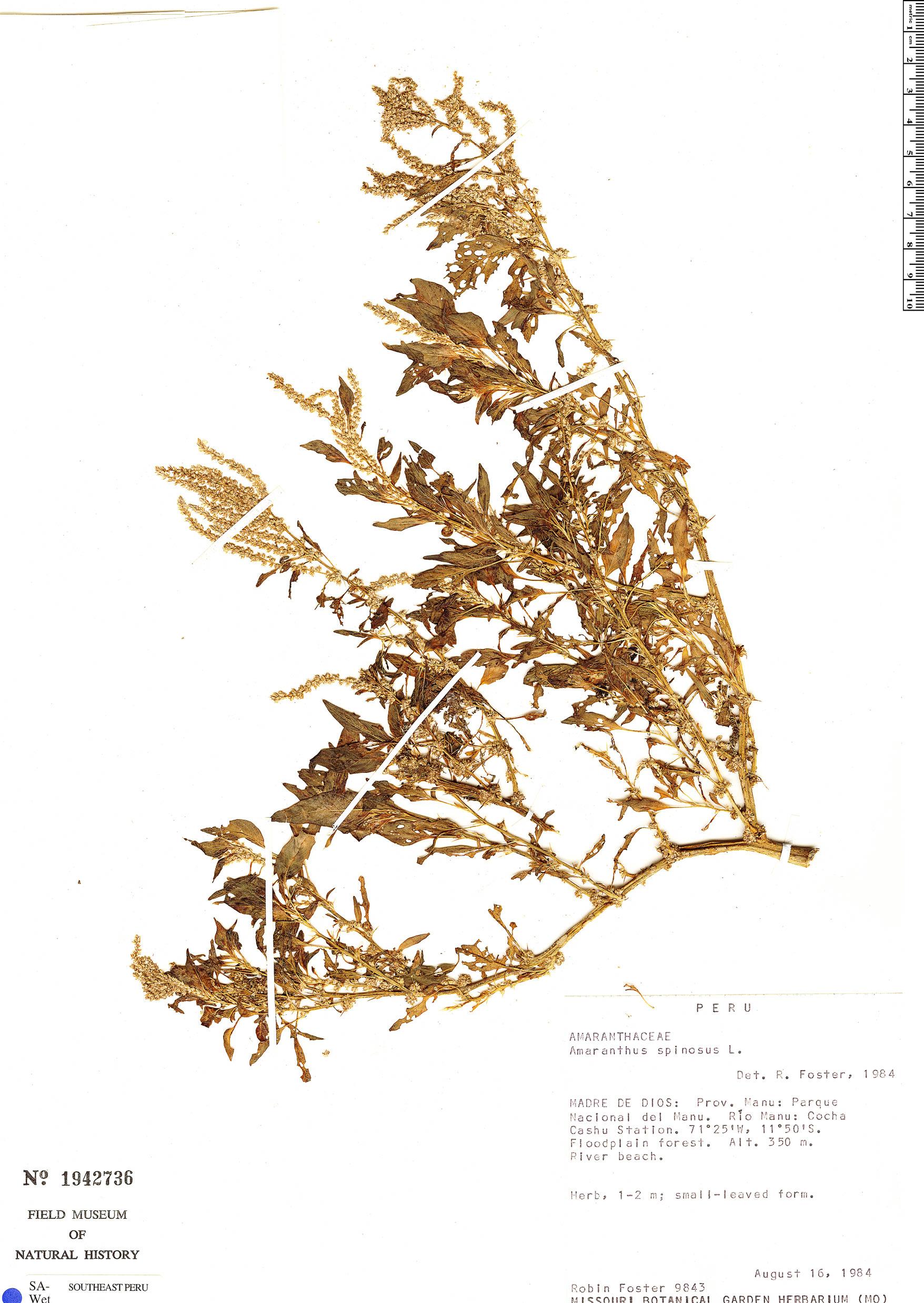 Specimen: Amaranthus spinosus