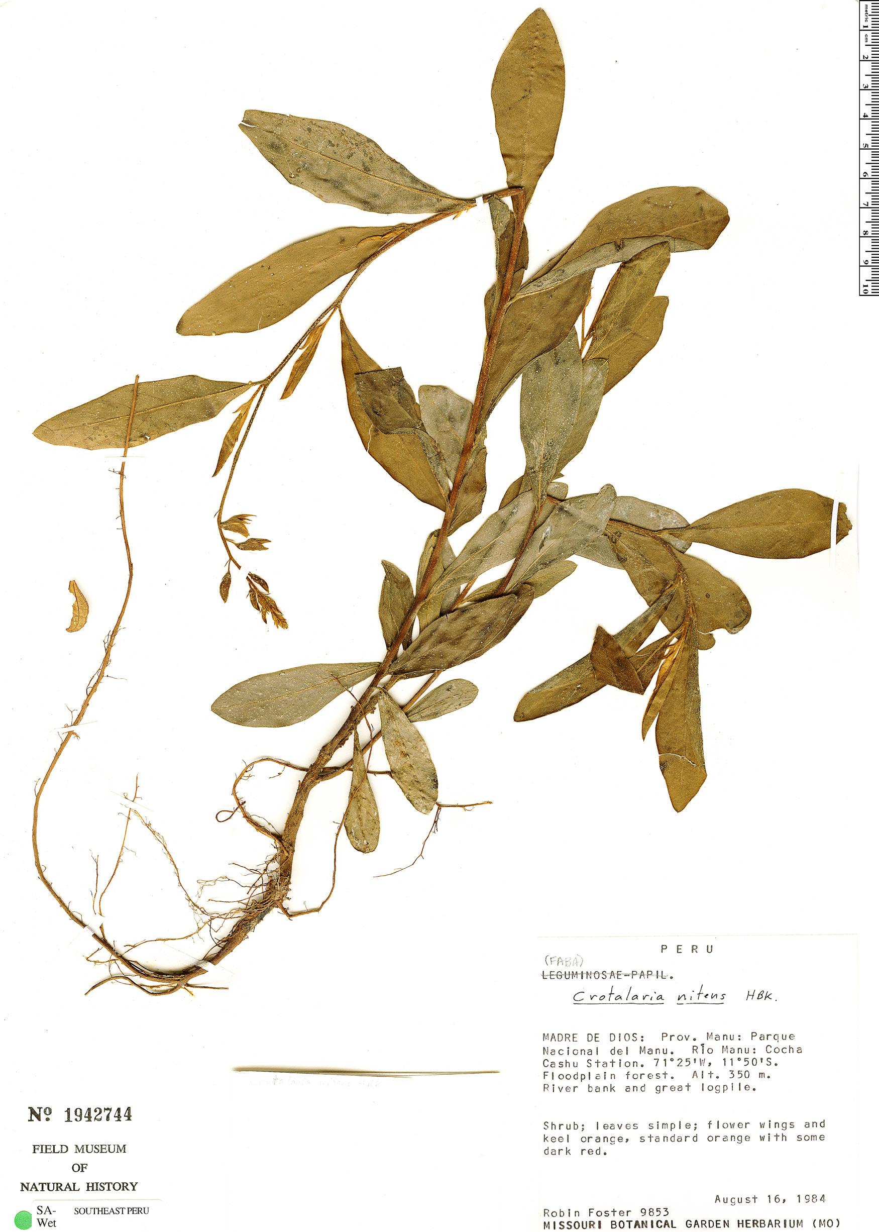 Specimen: Crotalaria nitens