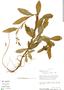 Crotalaria nitens image