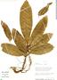 Ficus caballina Standl., Peru, R. B. Foster 9870, F