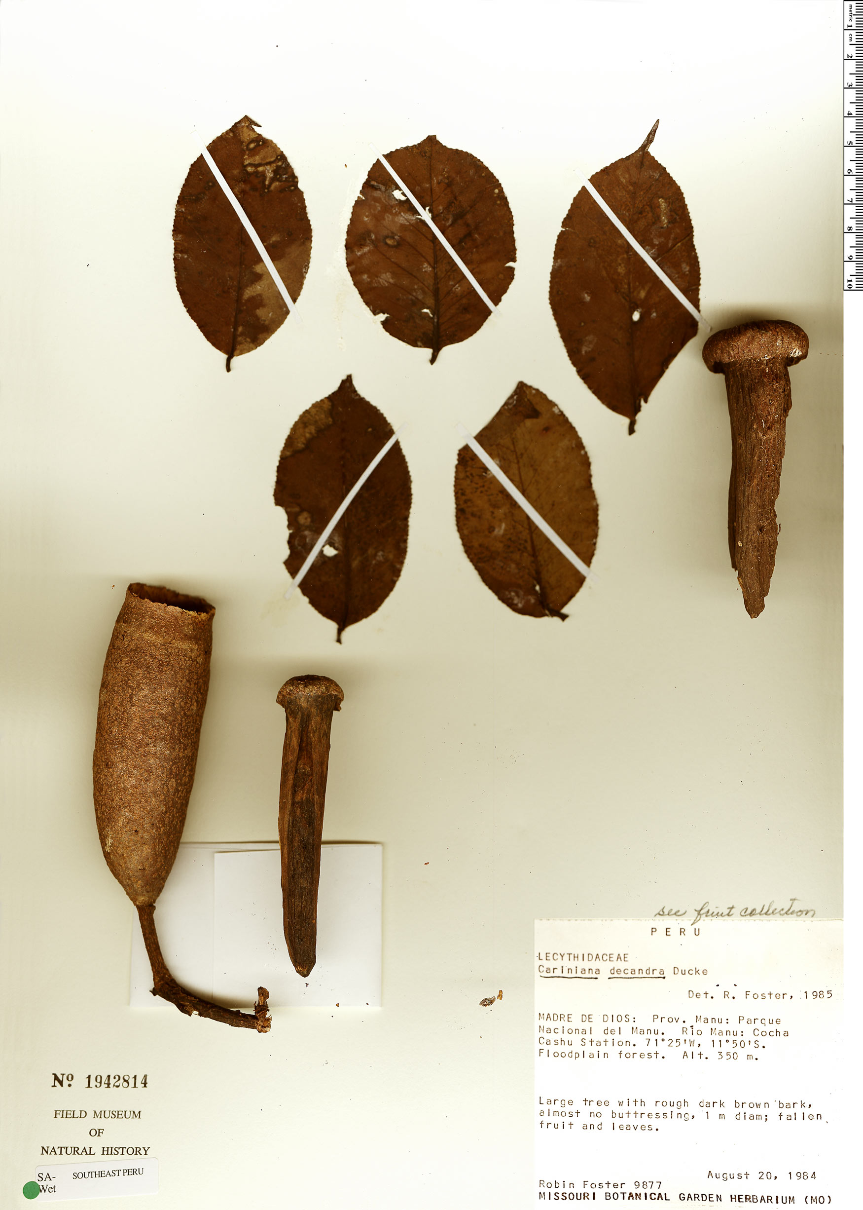 Specimen: Cariniana estrellensis