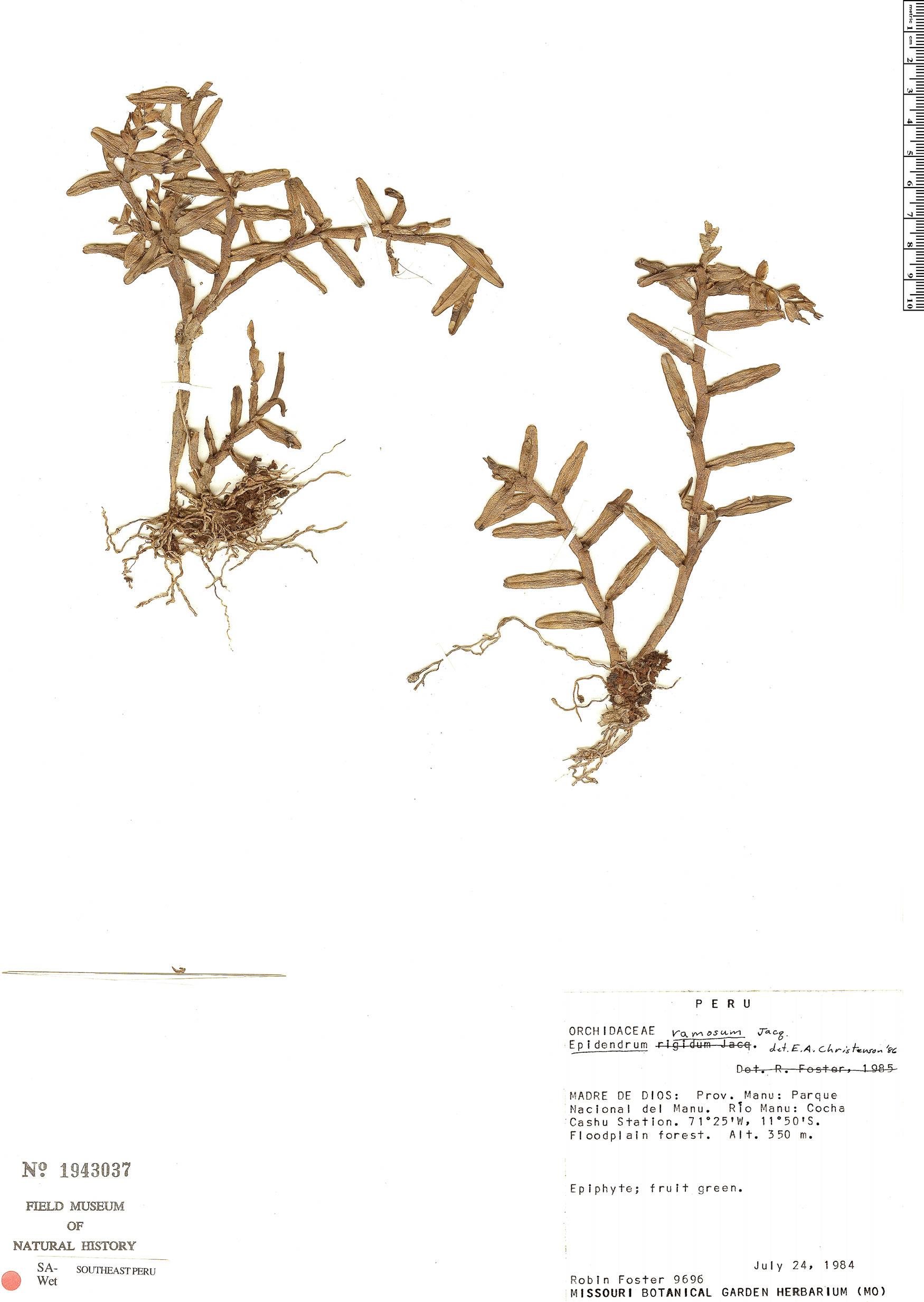 Specimen: Epidendrum strobiliferum