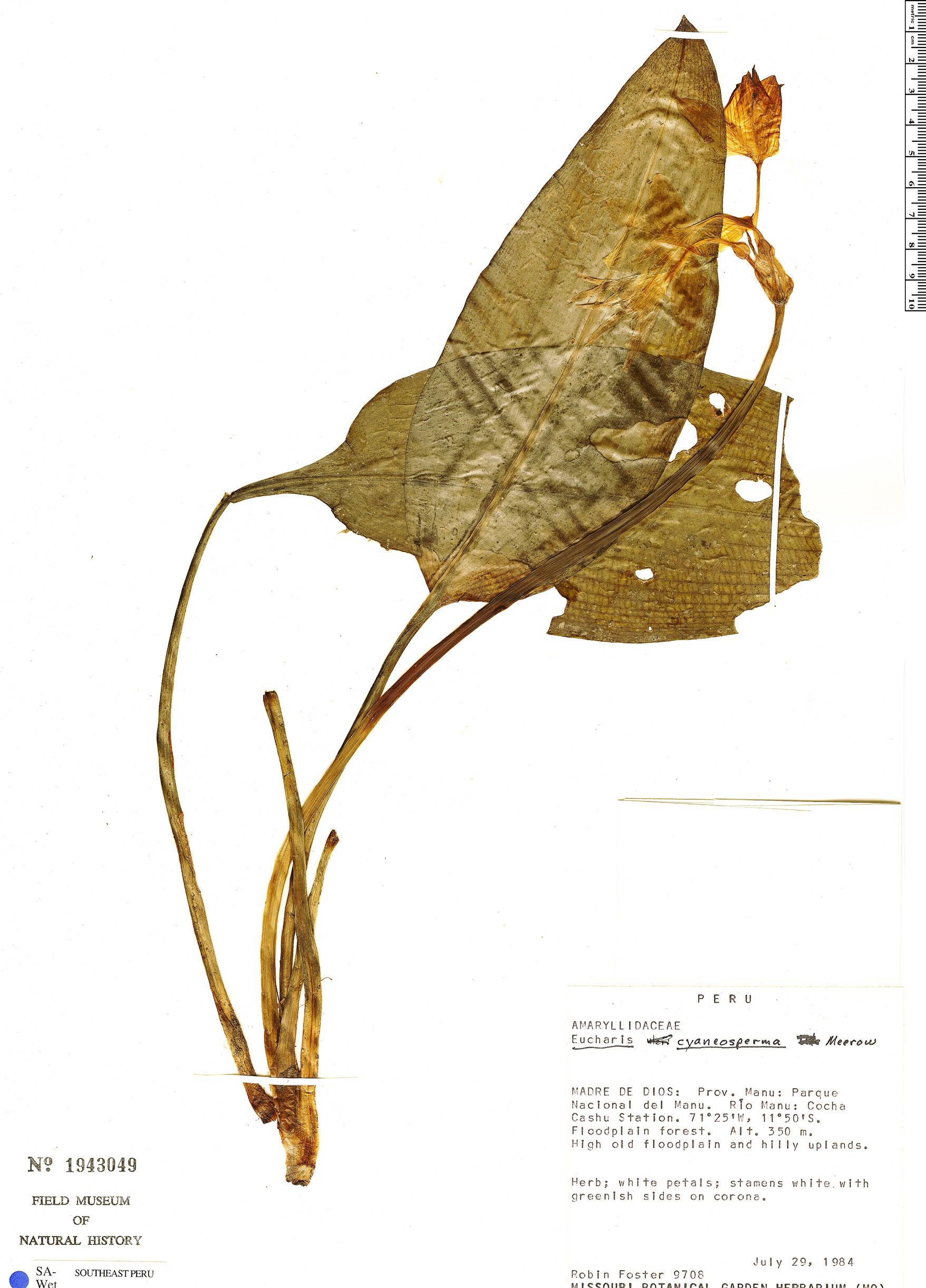 Specimen: Eucharis cyaneosperma