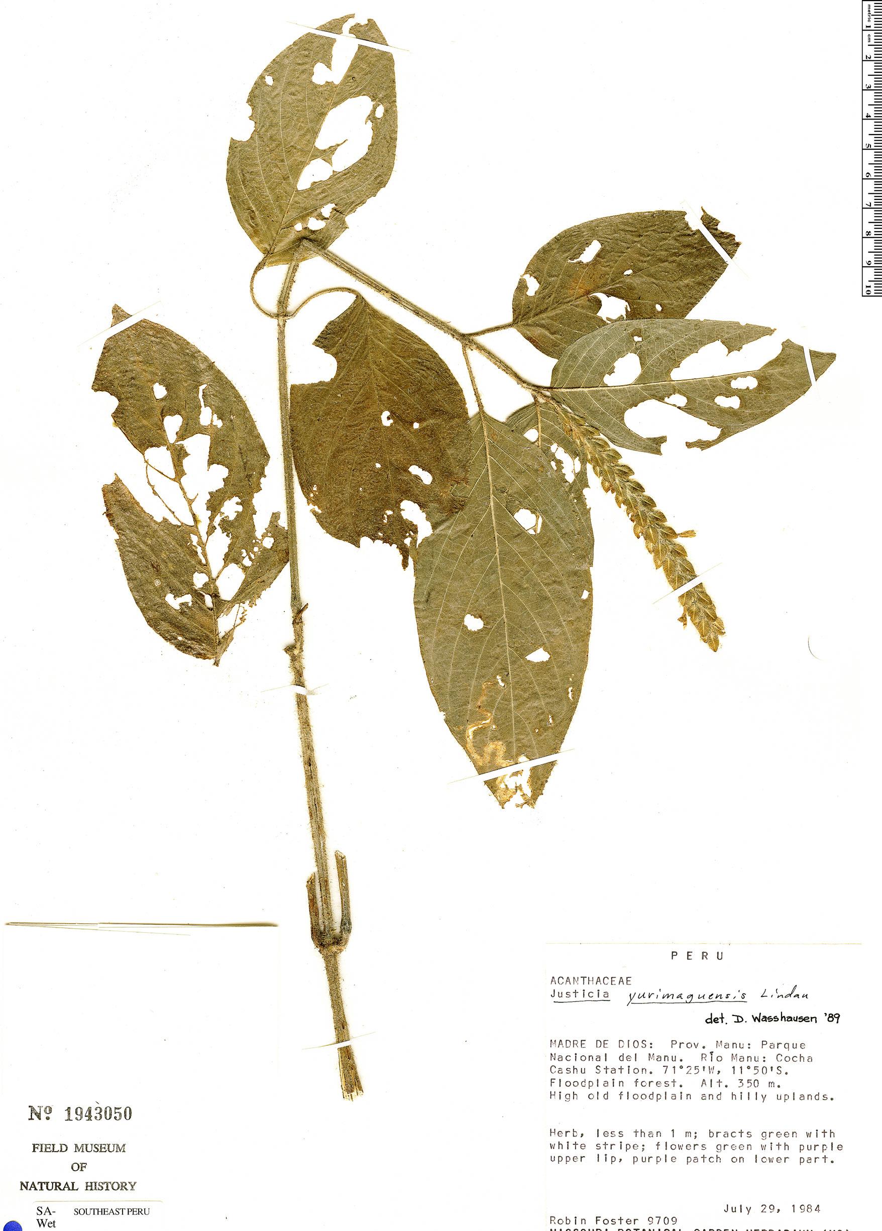 Specimen: Justicia yurimaguensis