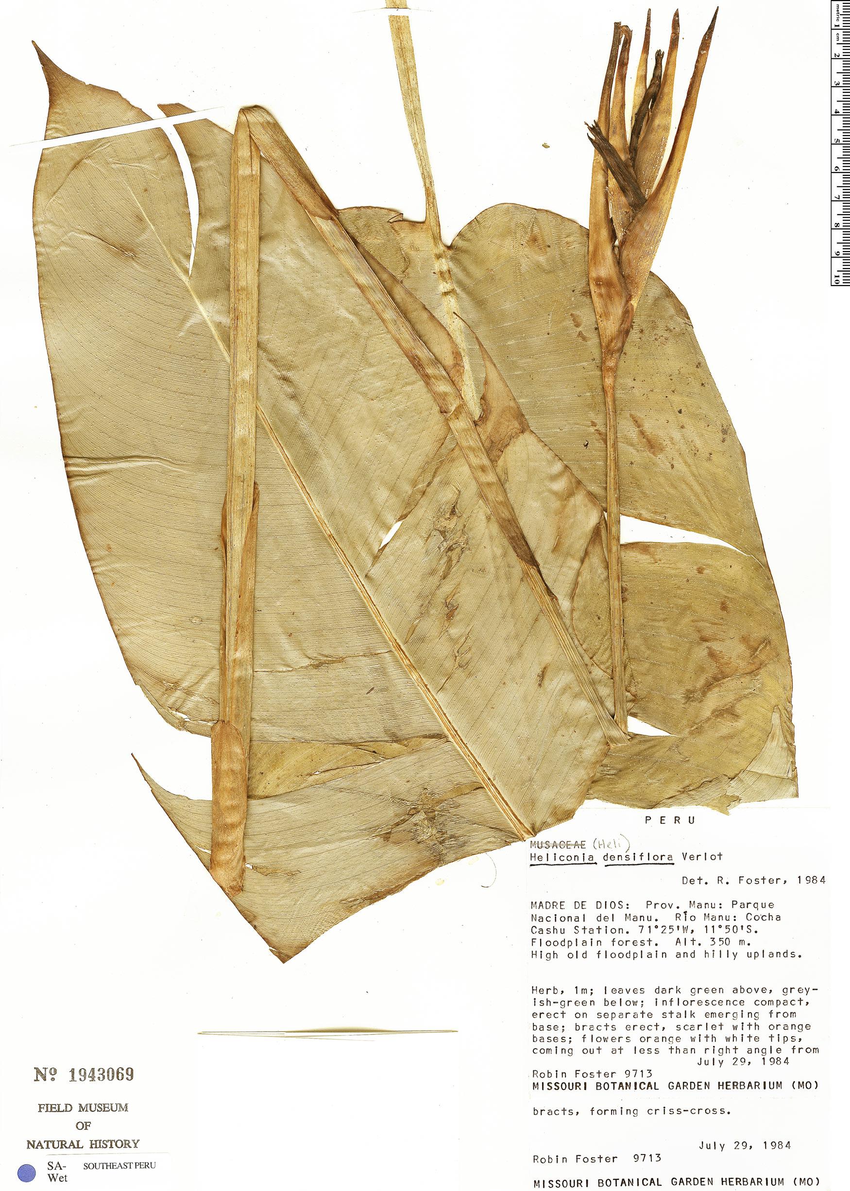 Specimen: Heliconia densiflora