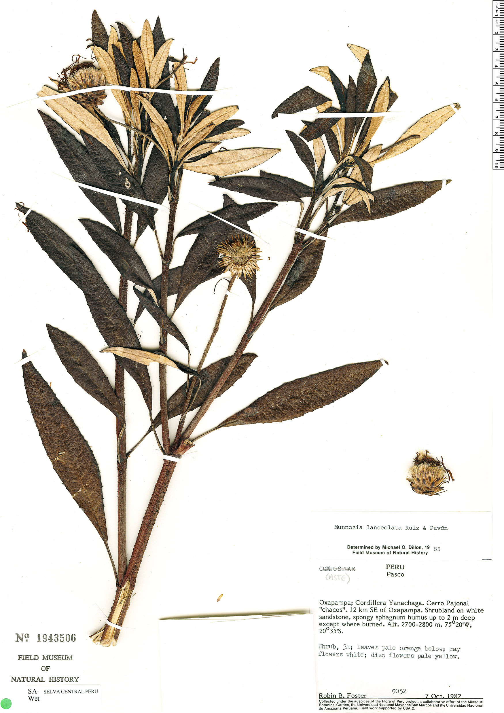 Espécimen: Munnozia lanceolata