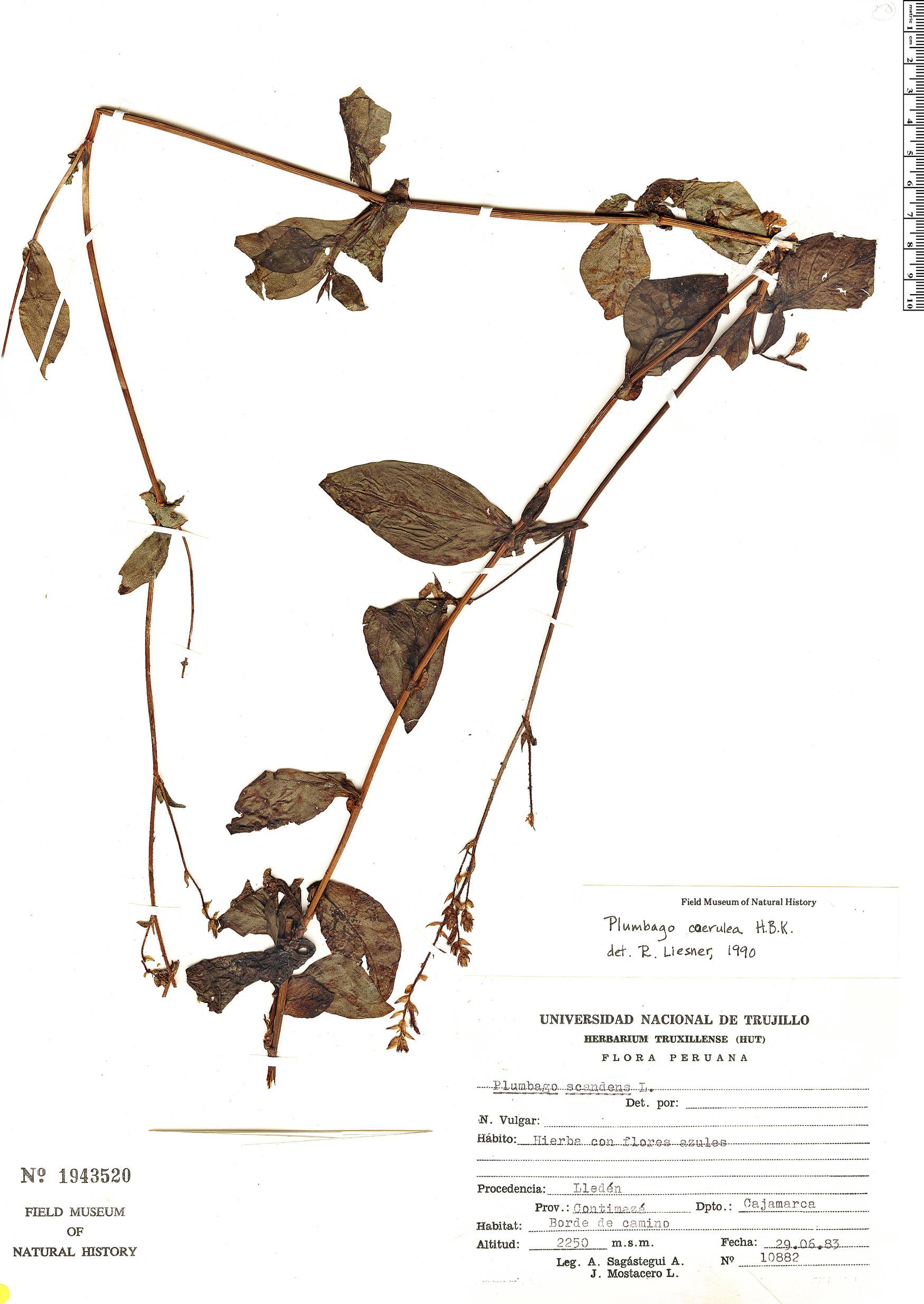Plumbago coerulea image