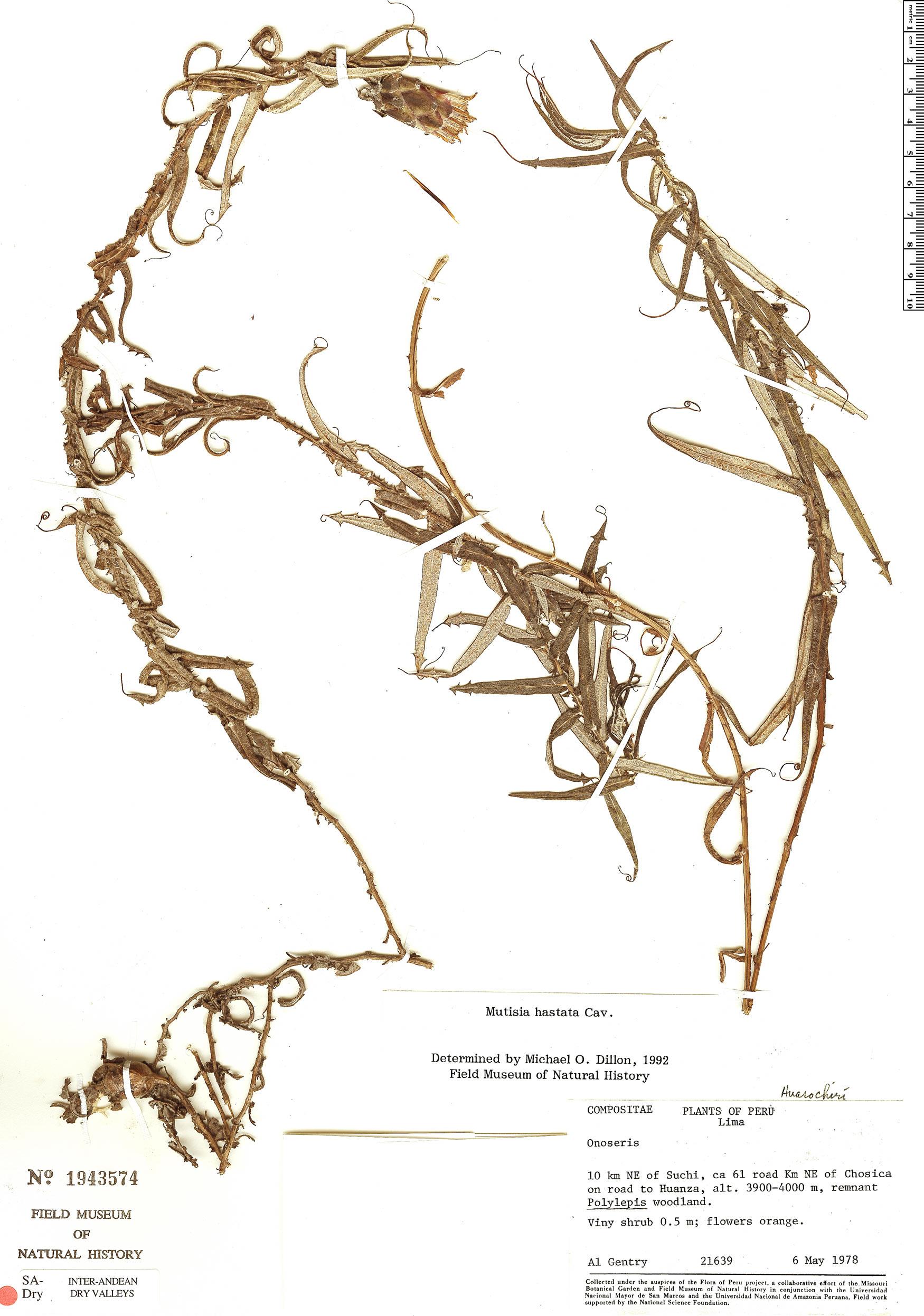 Specimen: Mutisia hastata