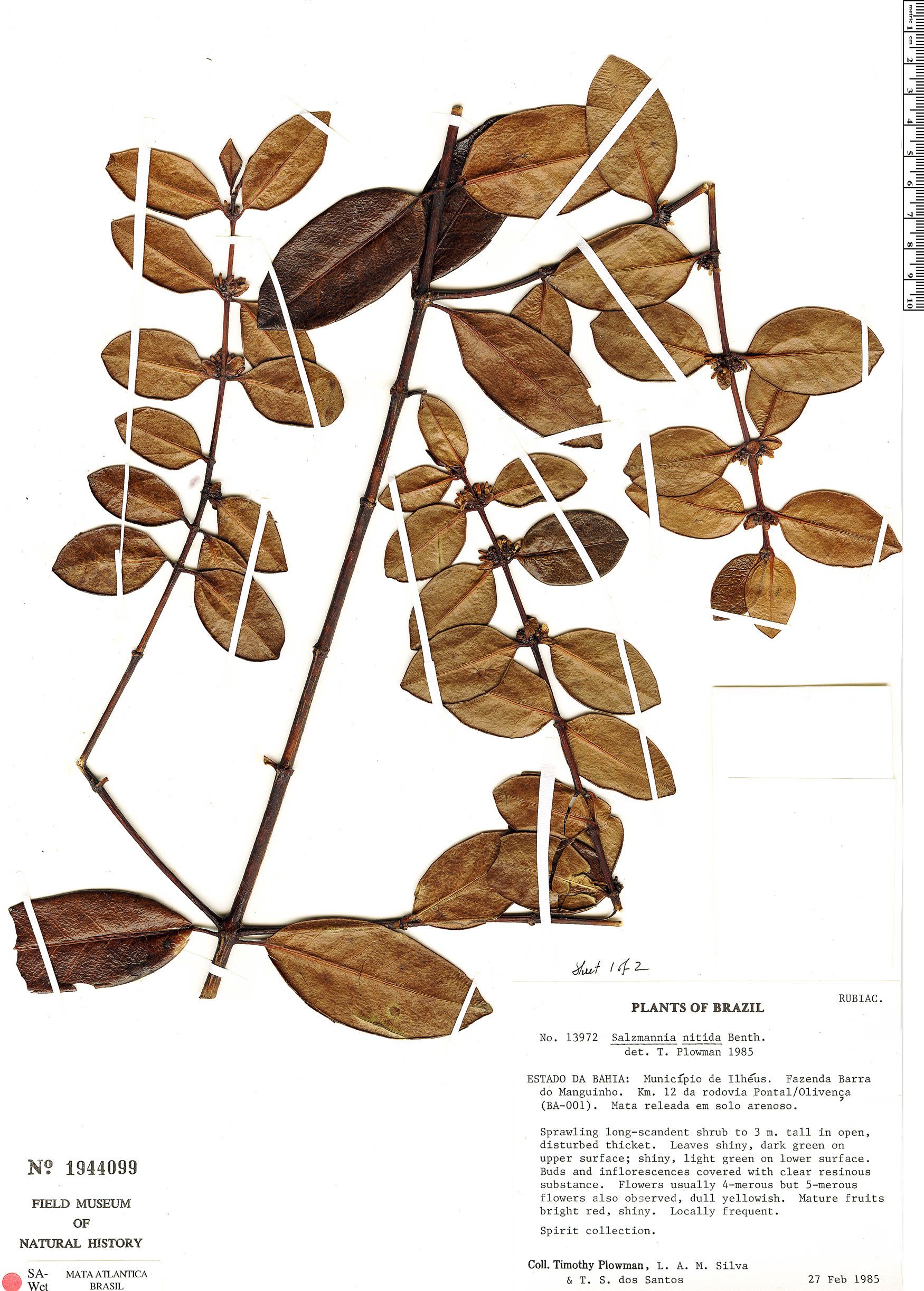 Specimen: Salzmannia nitida