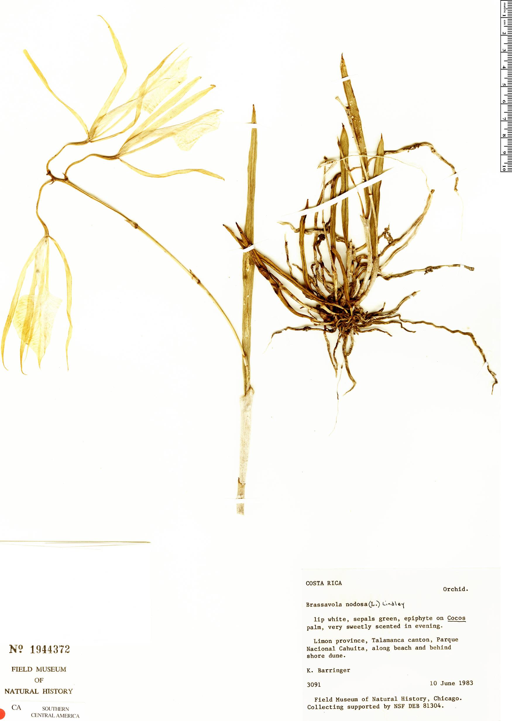 Specimen: Brassavola nodosa