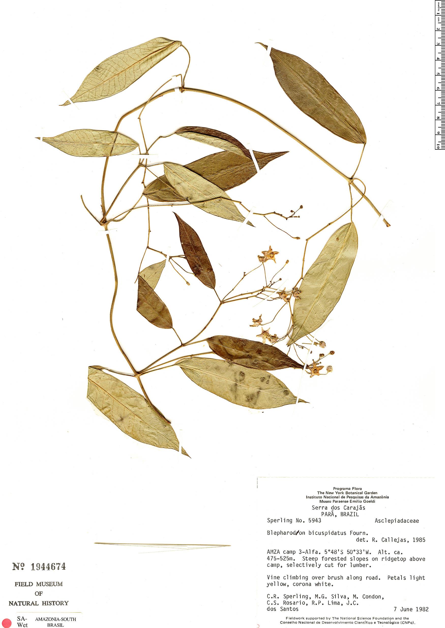 Specimen: Blepharodon bicuspidatum