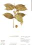 Tabernaemontana rupicola Benth., Brazil, C. A. Cid Ferreira 3150, F