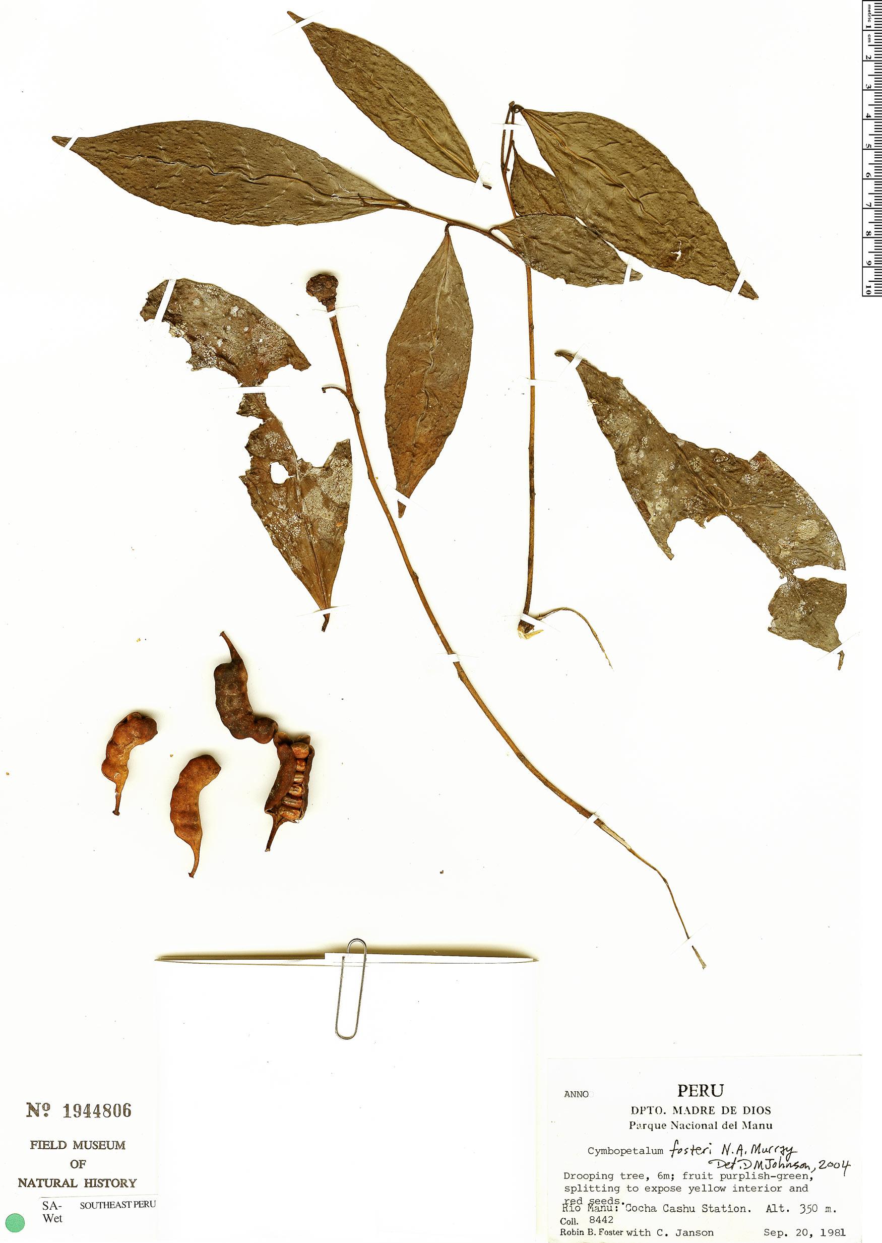 Espécime: Cymbopetalum fosteri