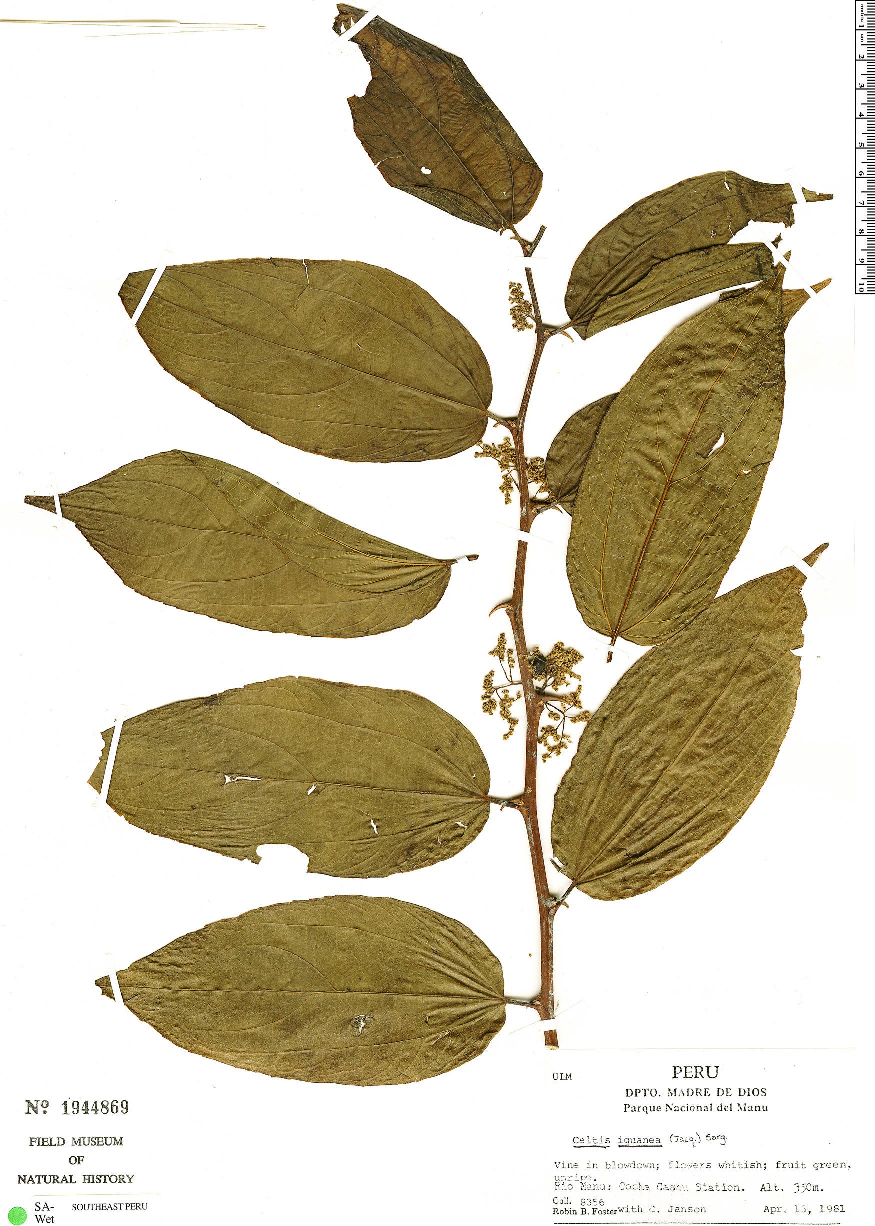 Specimen: Celtis iguanaea