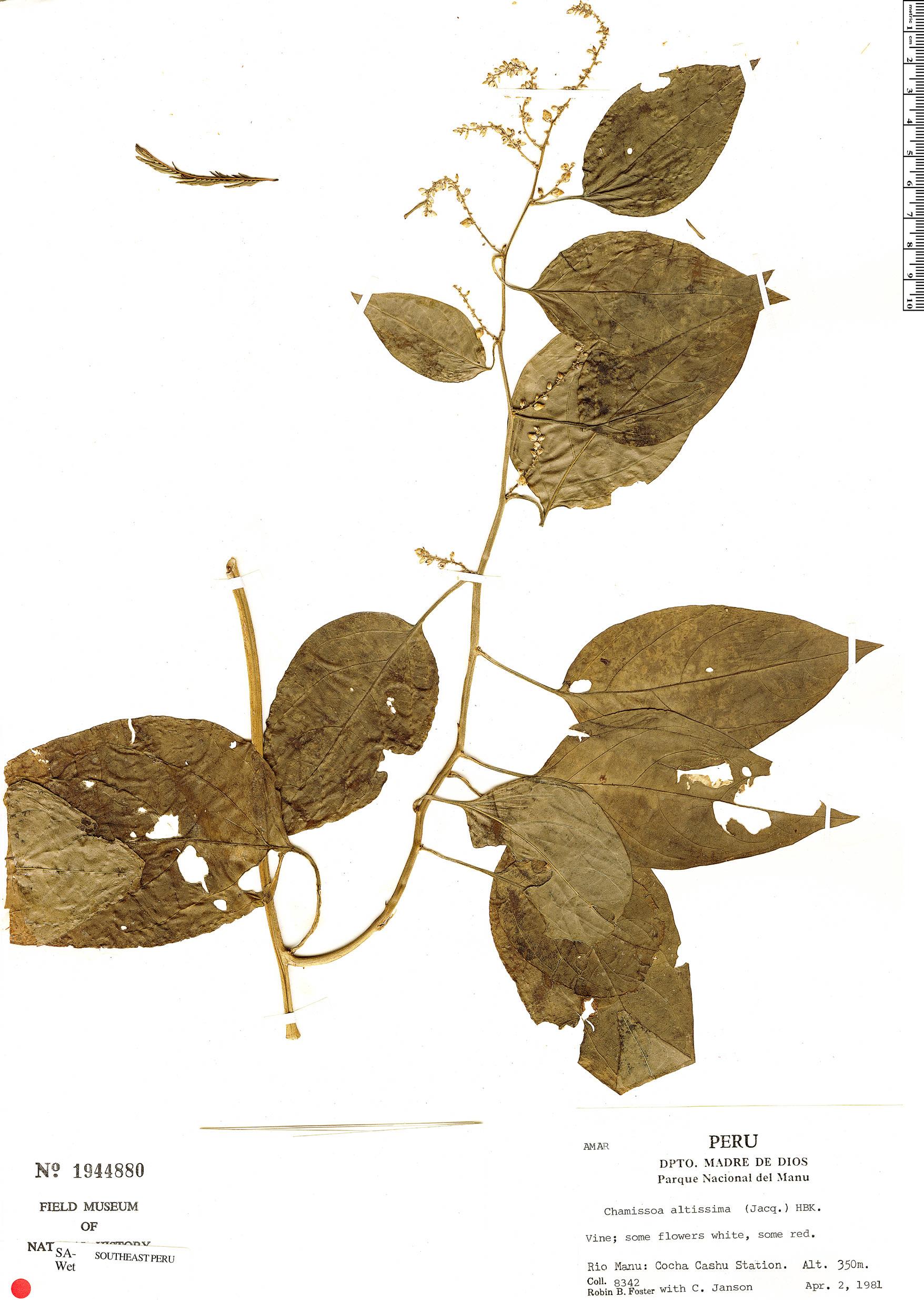 Specimen: Chamissoa altissima