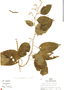 Chamissoa altissima (Jacq.) Kunth, Peru, R. B. Foster 8342, F