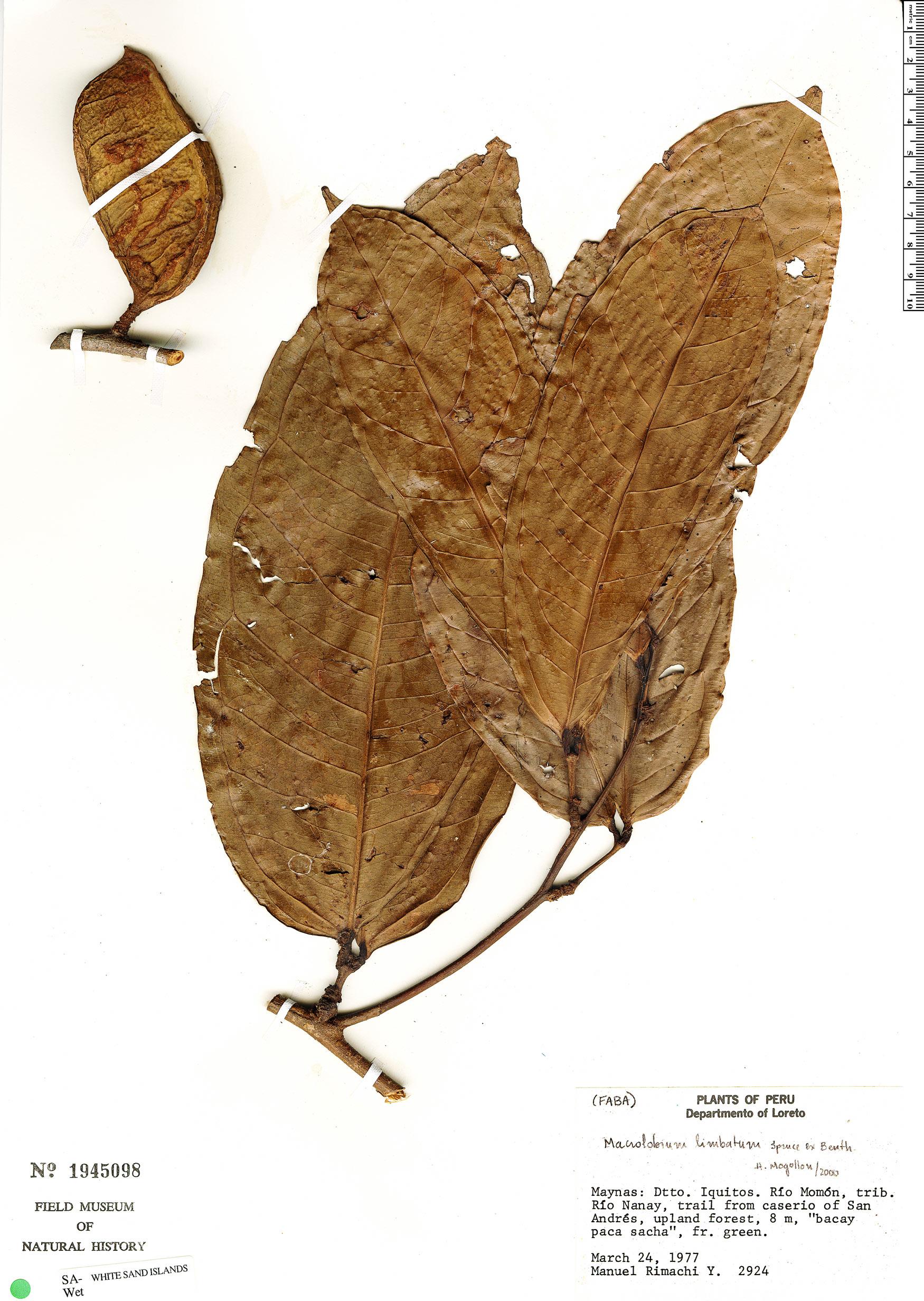 Specimen: Macrolobium limbatum