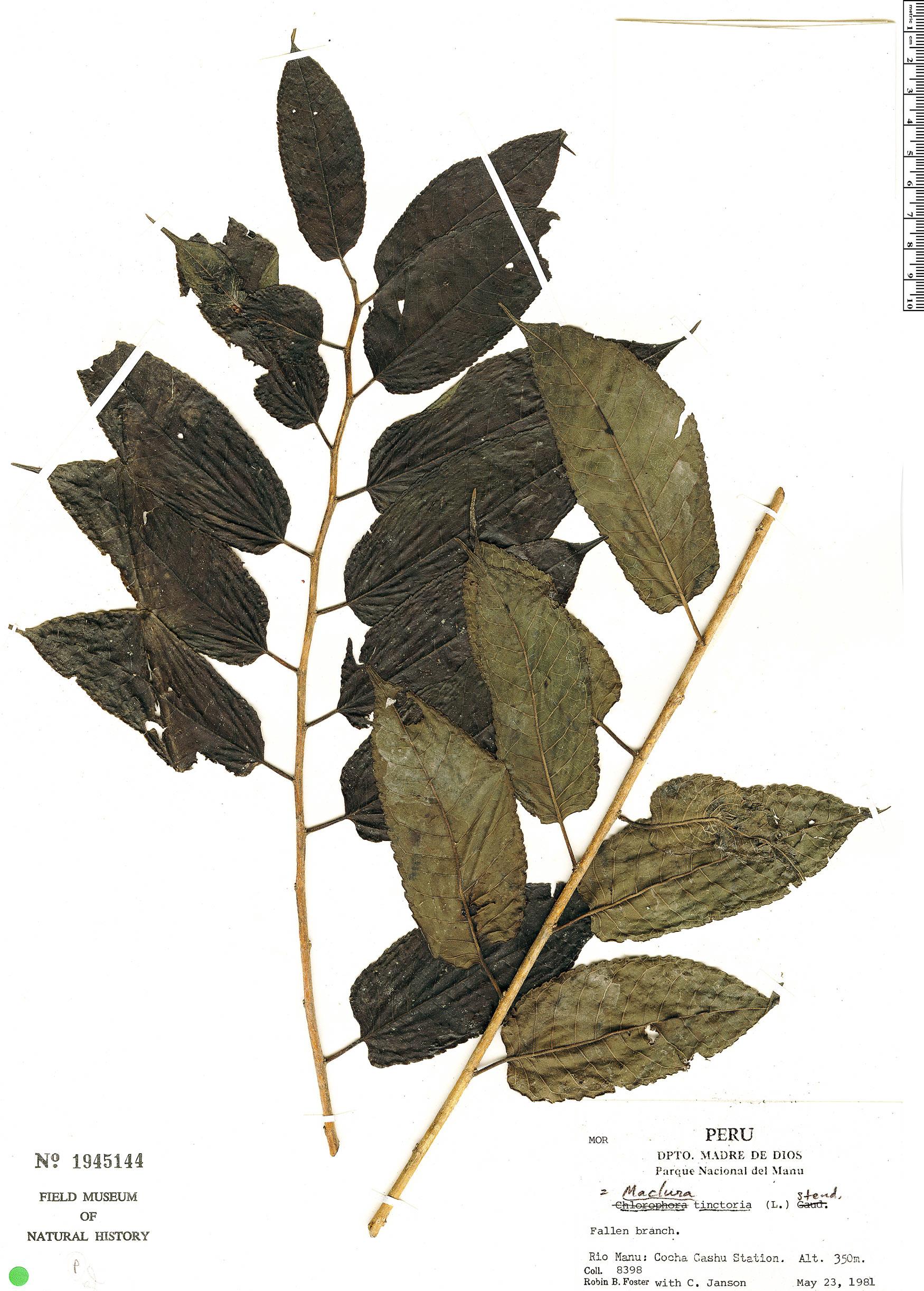 Specimen: Maclura tinctoria