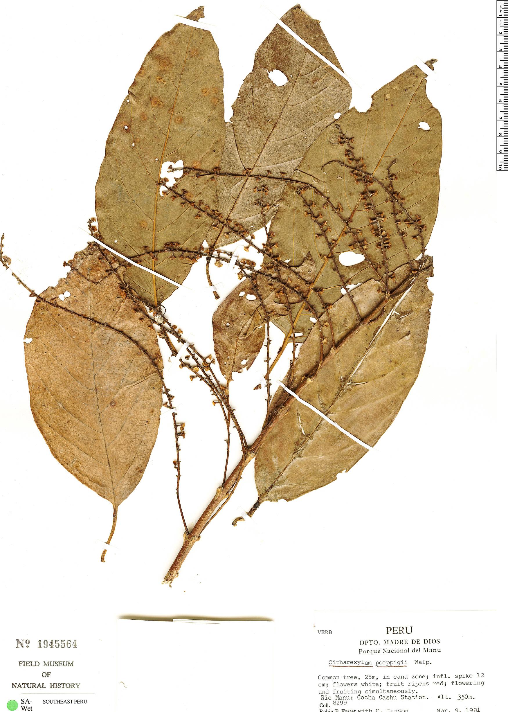 Specimen: Citharexylum poeppigii