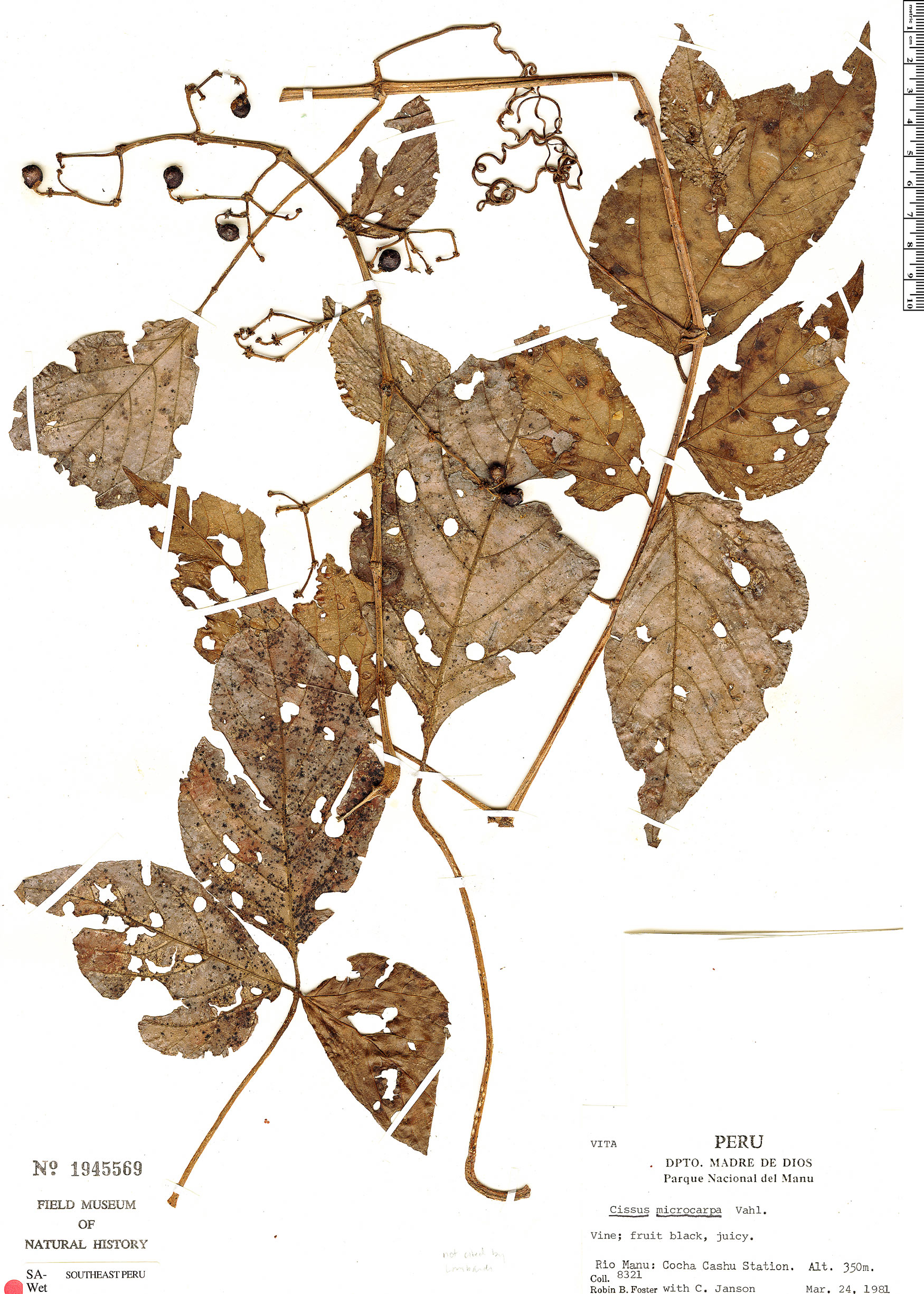 Espécime: Cissus peruviana