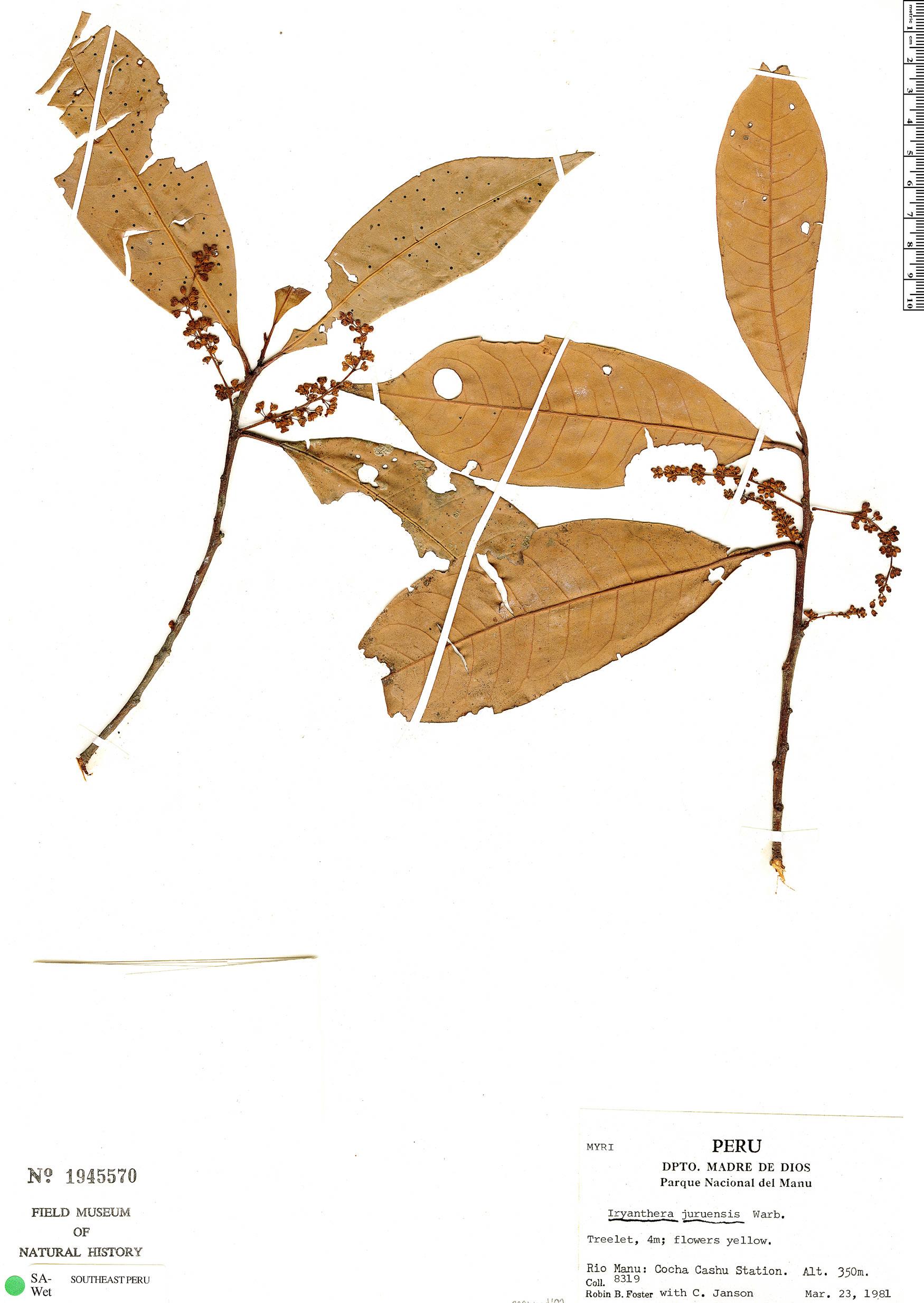 Specimen: Iryanthera juruensis