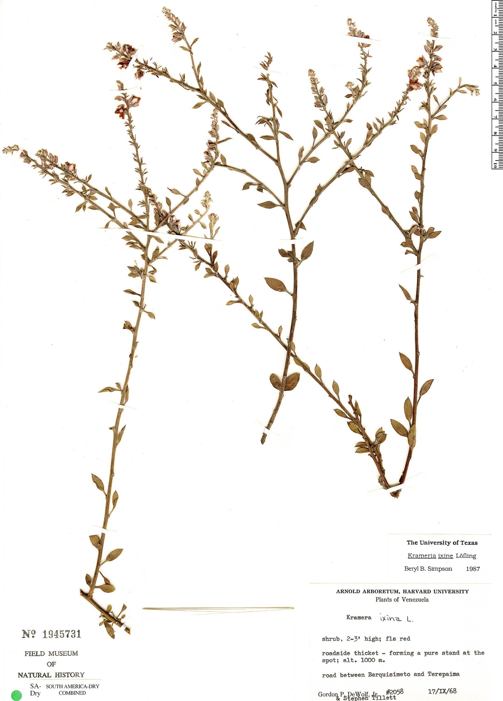 Specimen: Krameria ixine