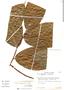 Perebea cf. longepedunculata, Peru, C. Peters 40, F