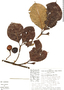 Couma macrocarpa Barb. Rodr., Peru, C. Peters 57-84, F