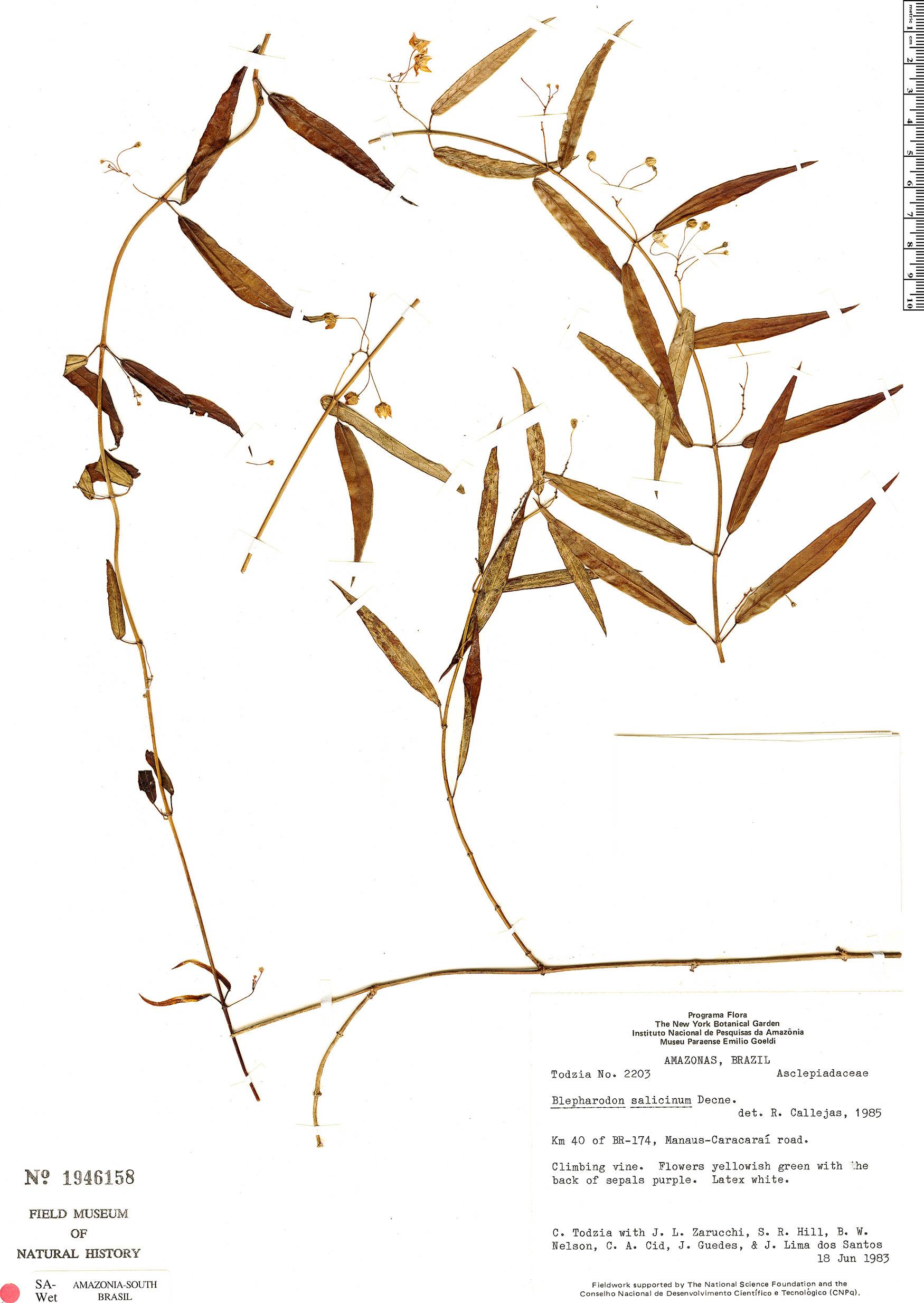 Espécime: Blepharodon salicinum