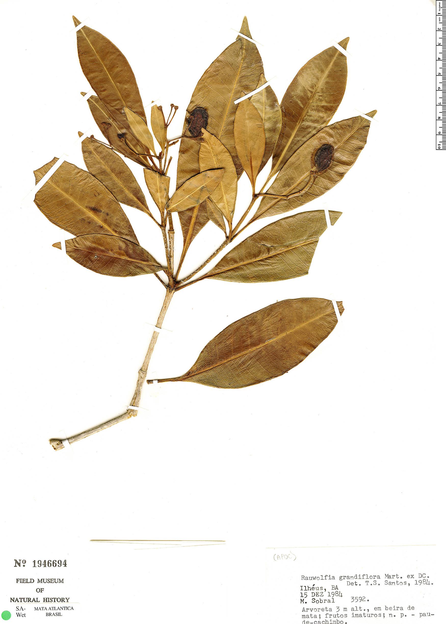 Specimen: Rauvolfia grandiflora