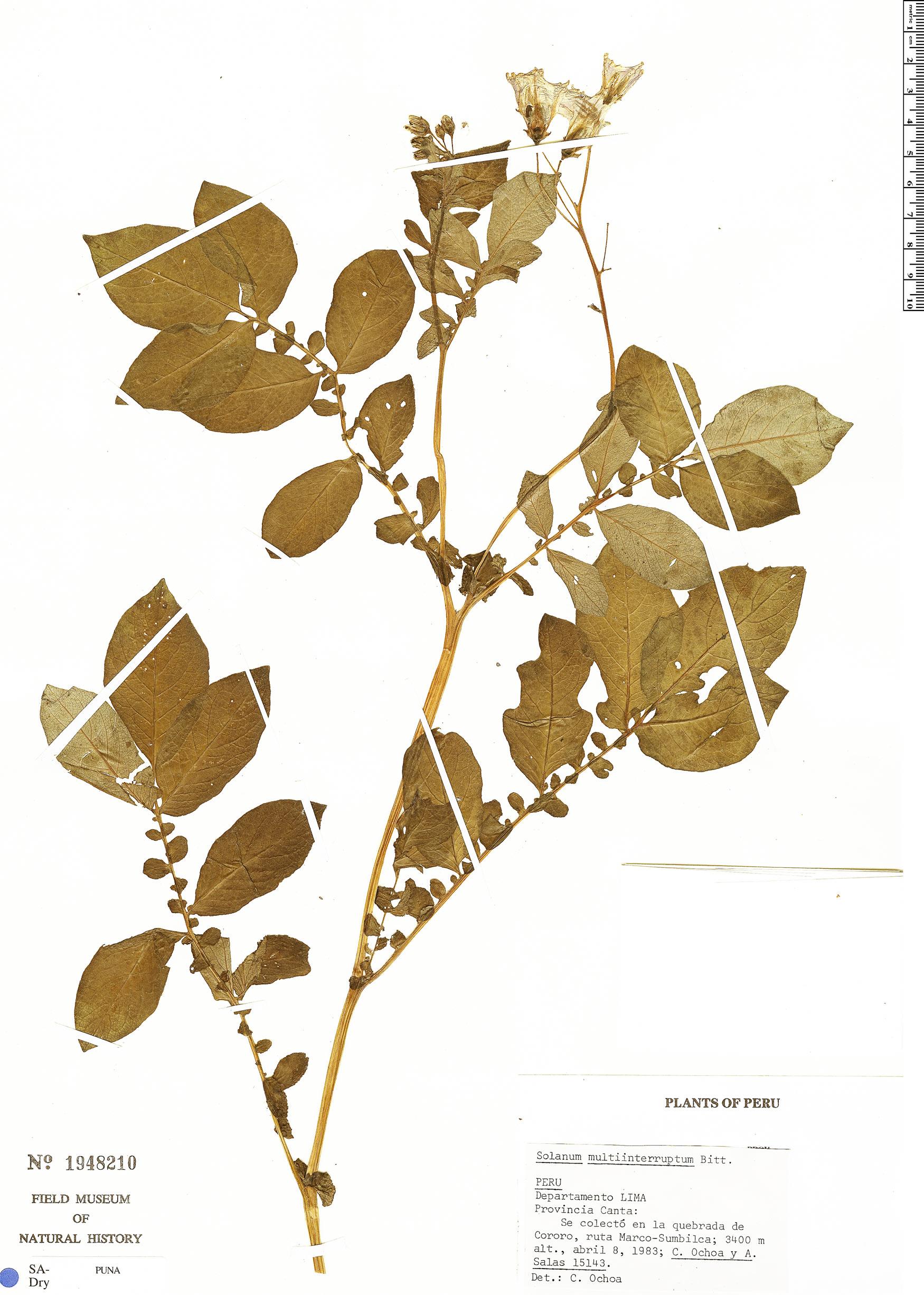 Specimen: Solanum multiinterruptum