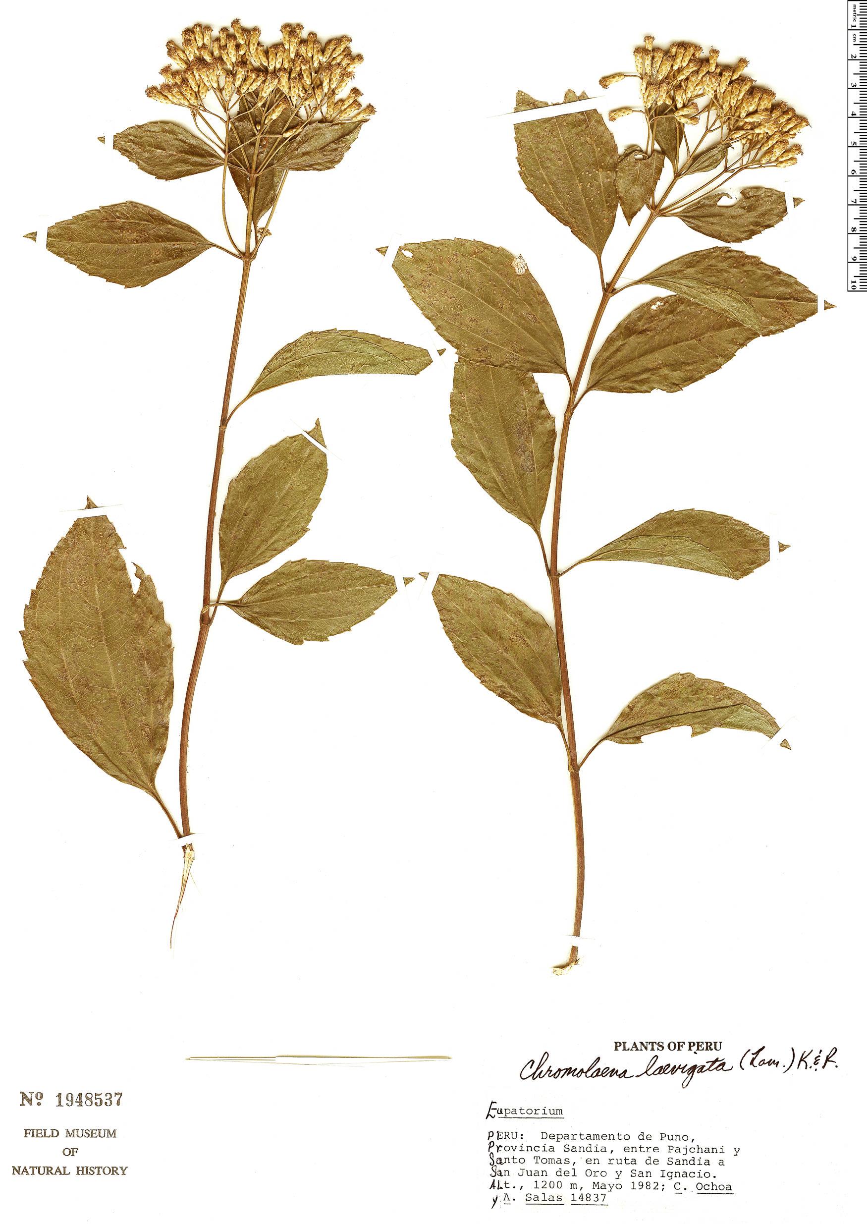 Specimen: Chromolaena laevigata
