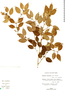 Eugenia axillaris (Sw.) Willd., BAHAMAS, R. P. Sauleda 3753, F