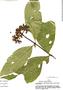 Palicourea lucidula Standl., Peru, S. Smith 288, F