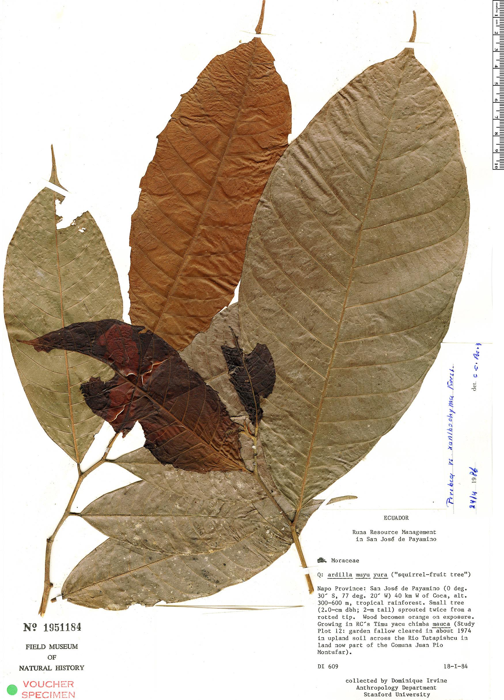 Specimen: Perebea xanthochyma
