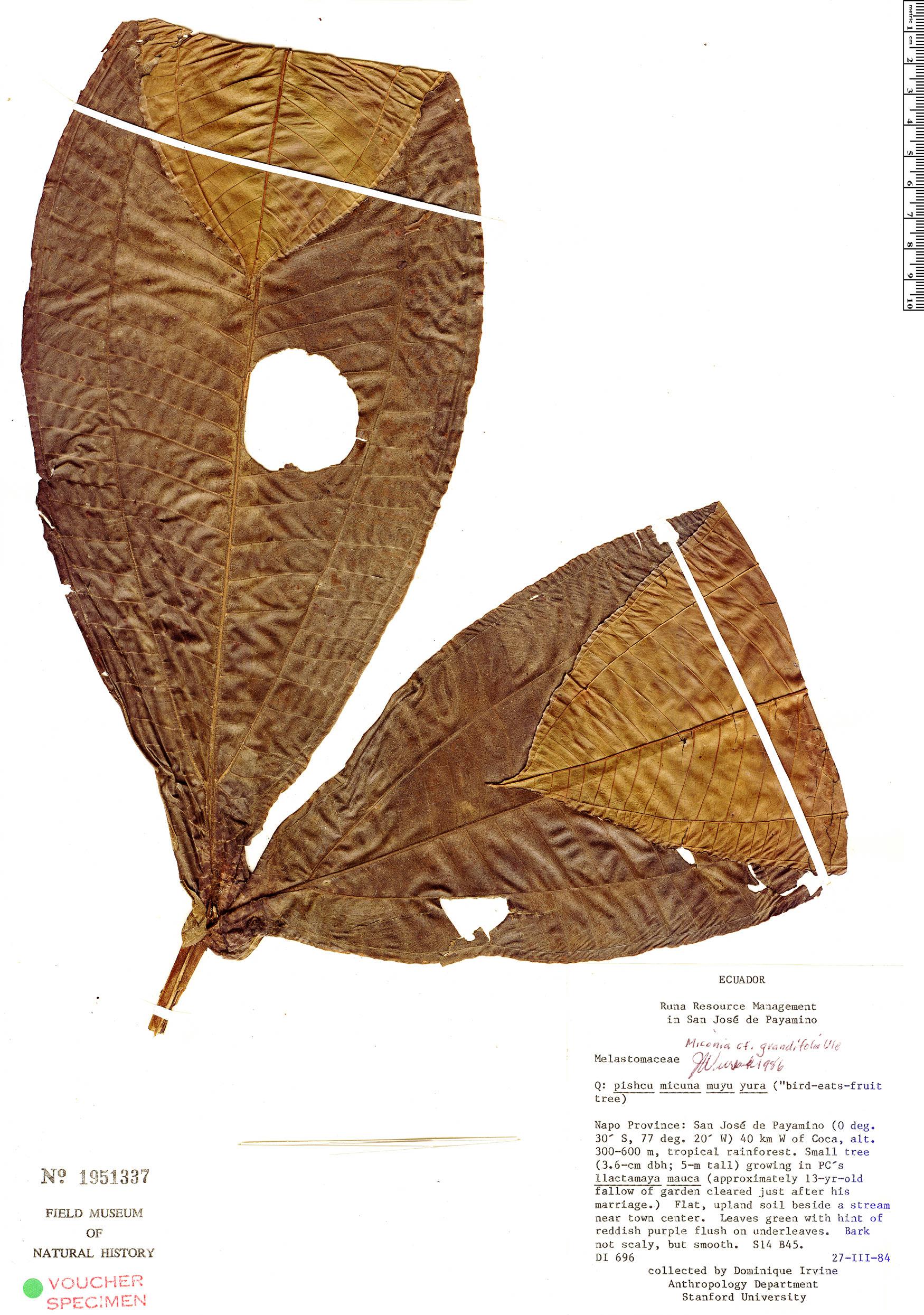 Espécimen: Miconia grandifoliata