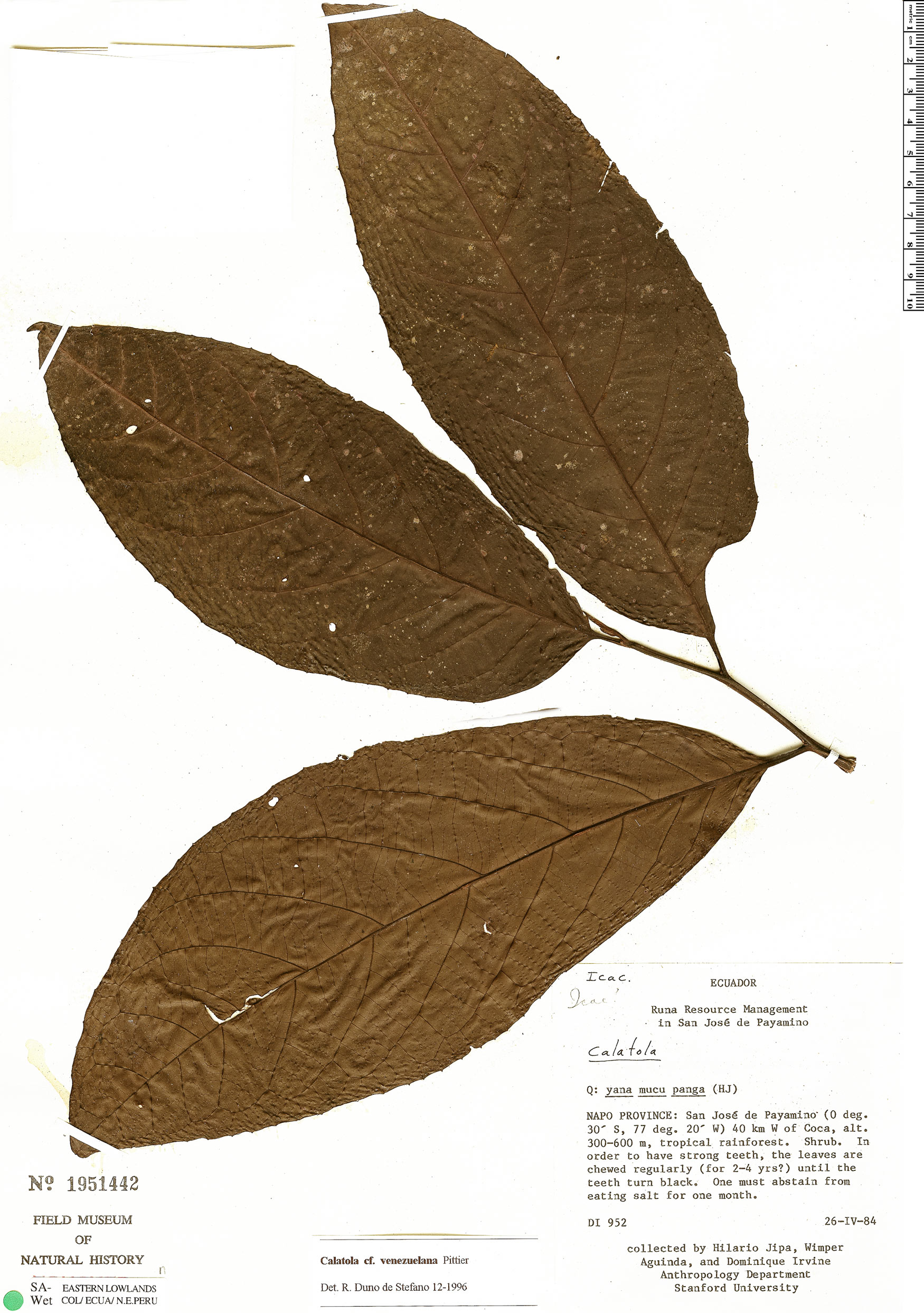 Specimen: Calatola costaricensis