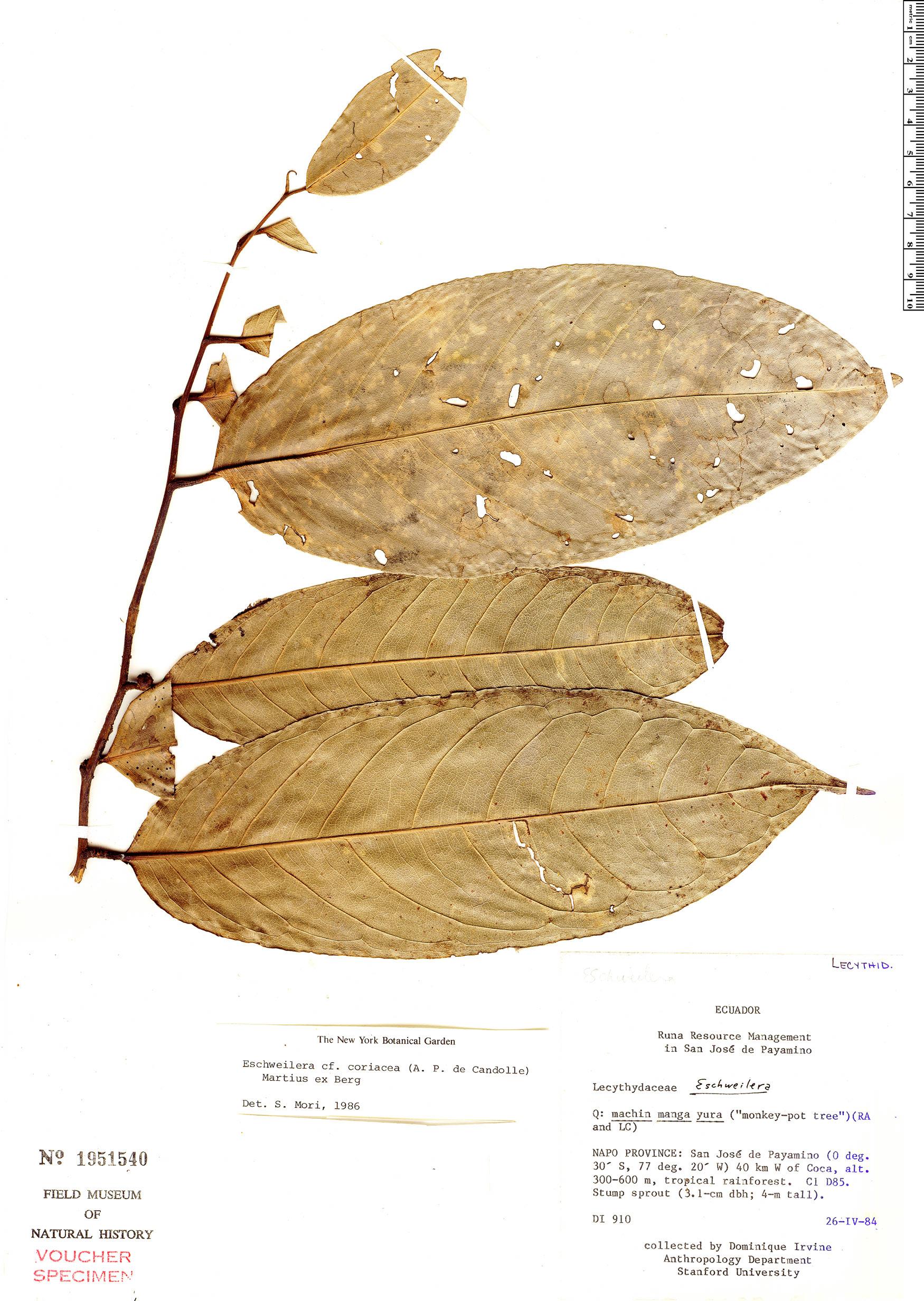 Specimen: Eschweilera coriacea