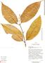 Diplopterys cabrerana (Cuatrec.) B. Gates, Ecuador, D. Irvine DI699, F