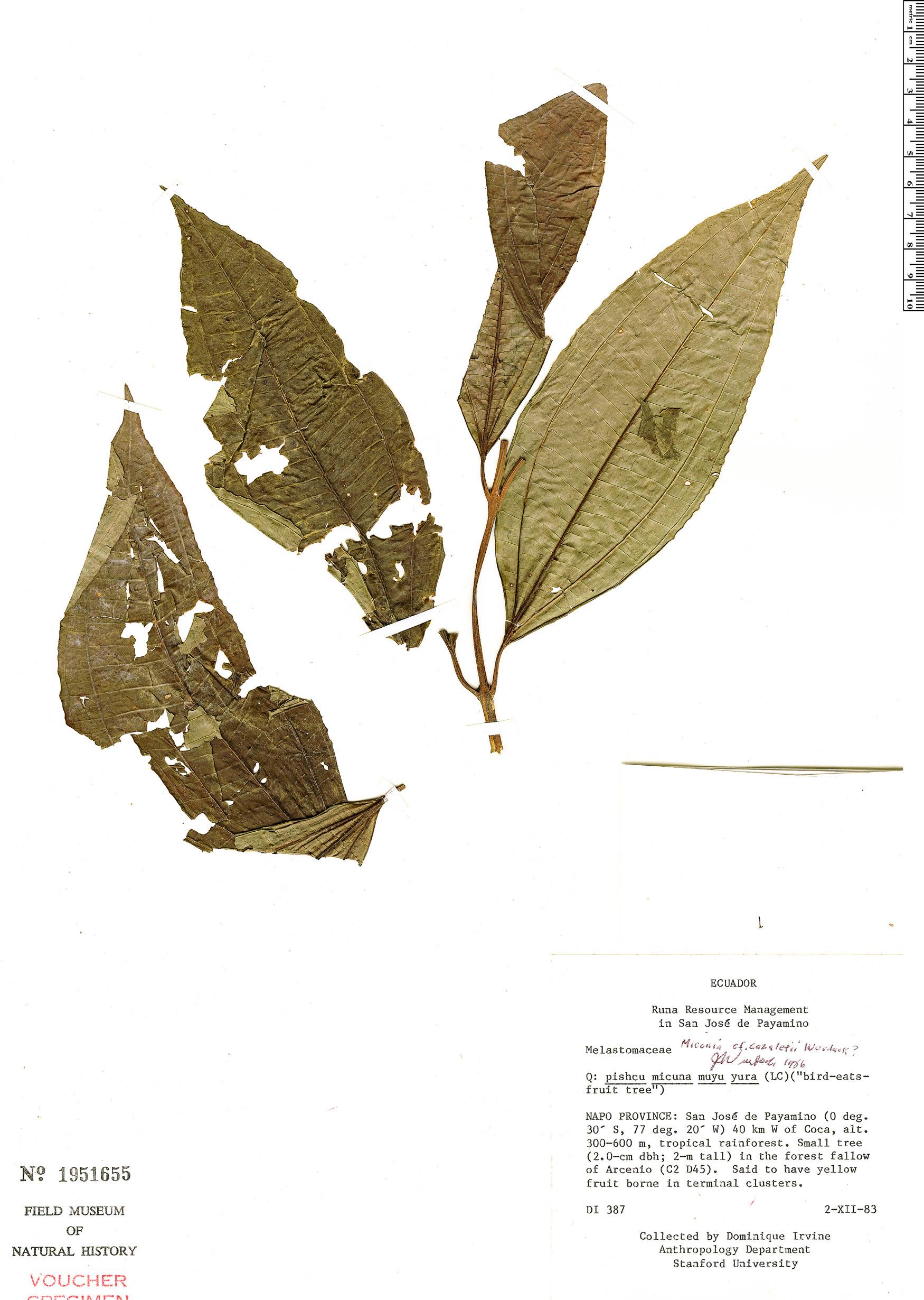 Specimen: Miconia cazaletii