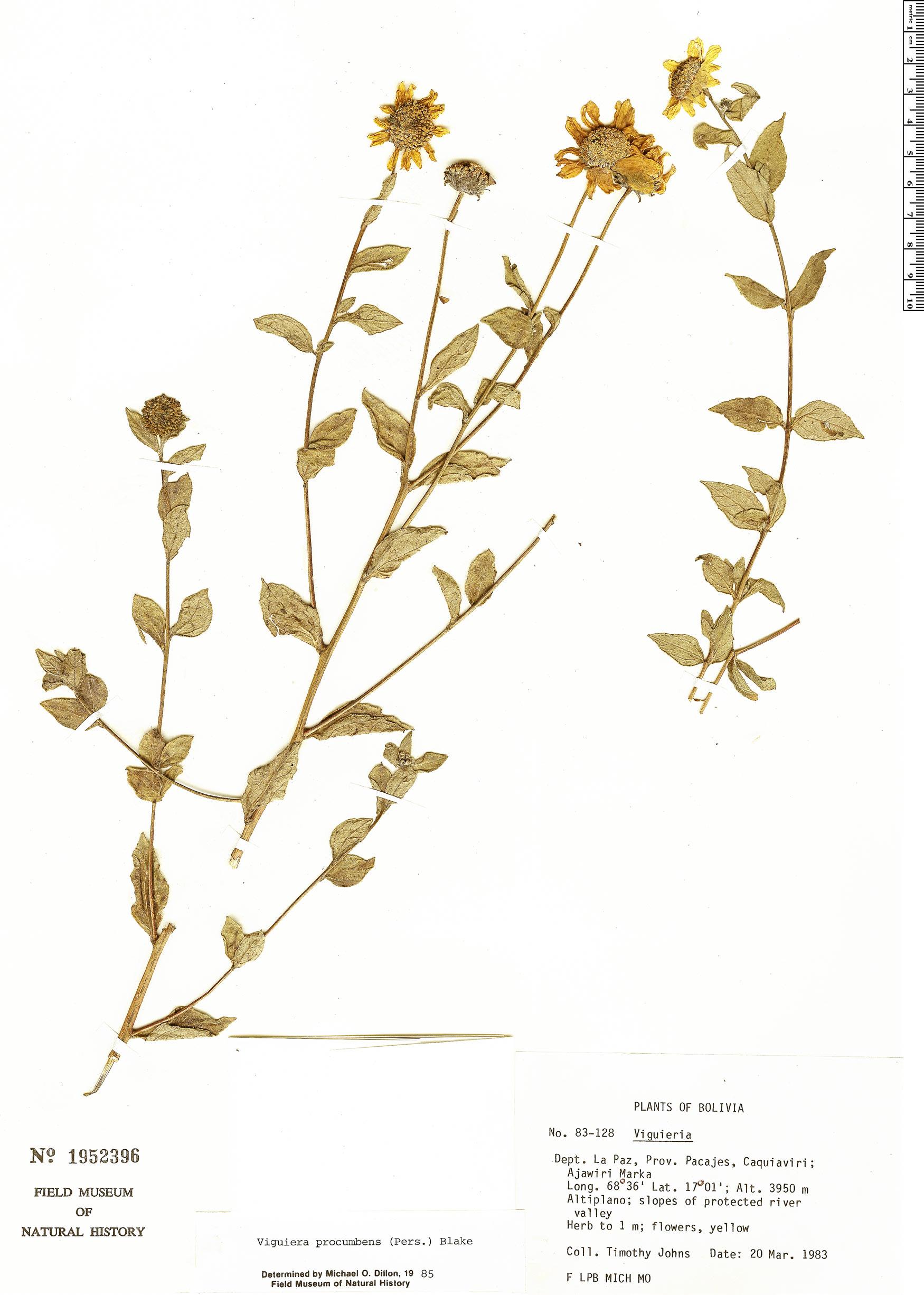 Specimen: Viguiera procumbens