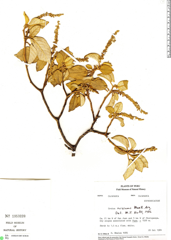 Specimen: Croton ruizianus