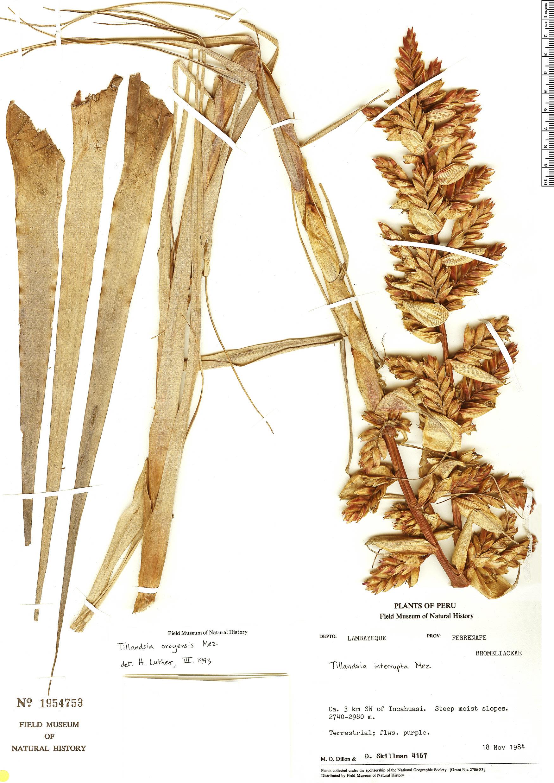 Specimen: Tillandsia oroyensis