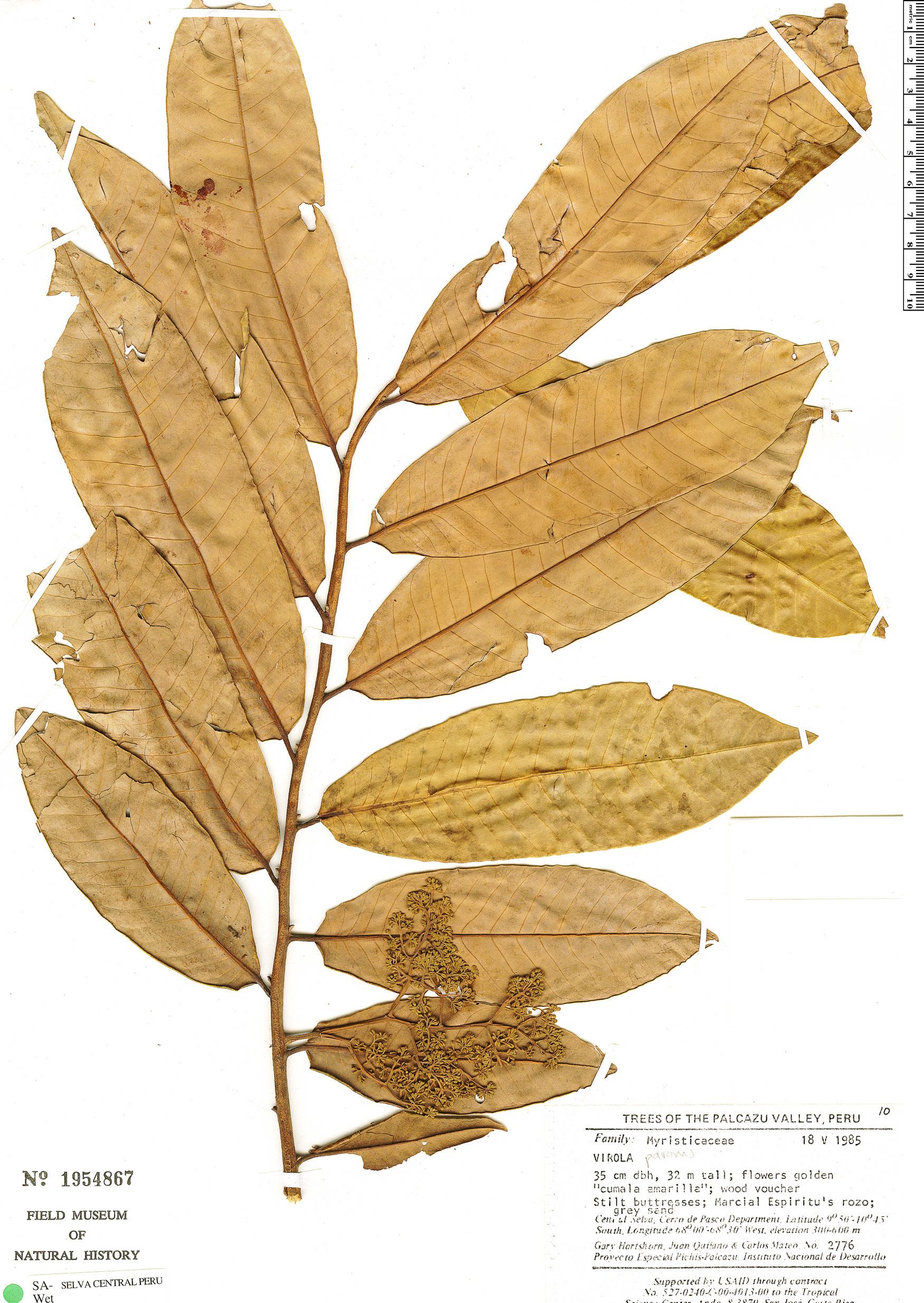 Espécimen: Virola pavonis