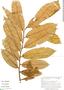 Virola pavonis (A. DC.) A. C. Sm., Peru, G. S. Hartshorn 2776, F